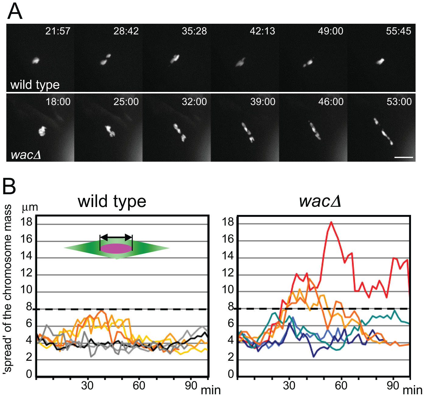 Chromosomes fail to congress in <i>wac</i> mutant oocytes.