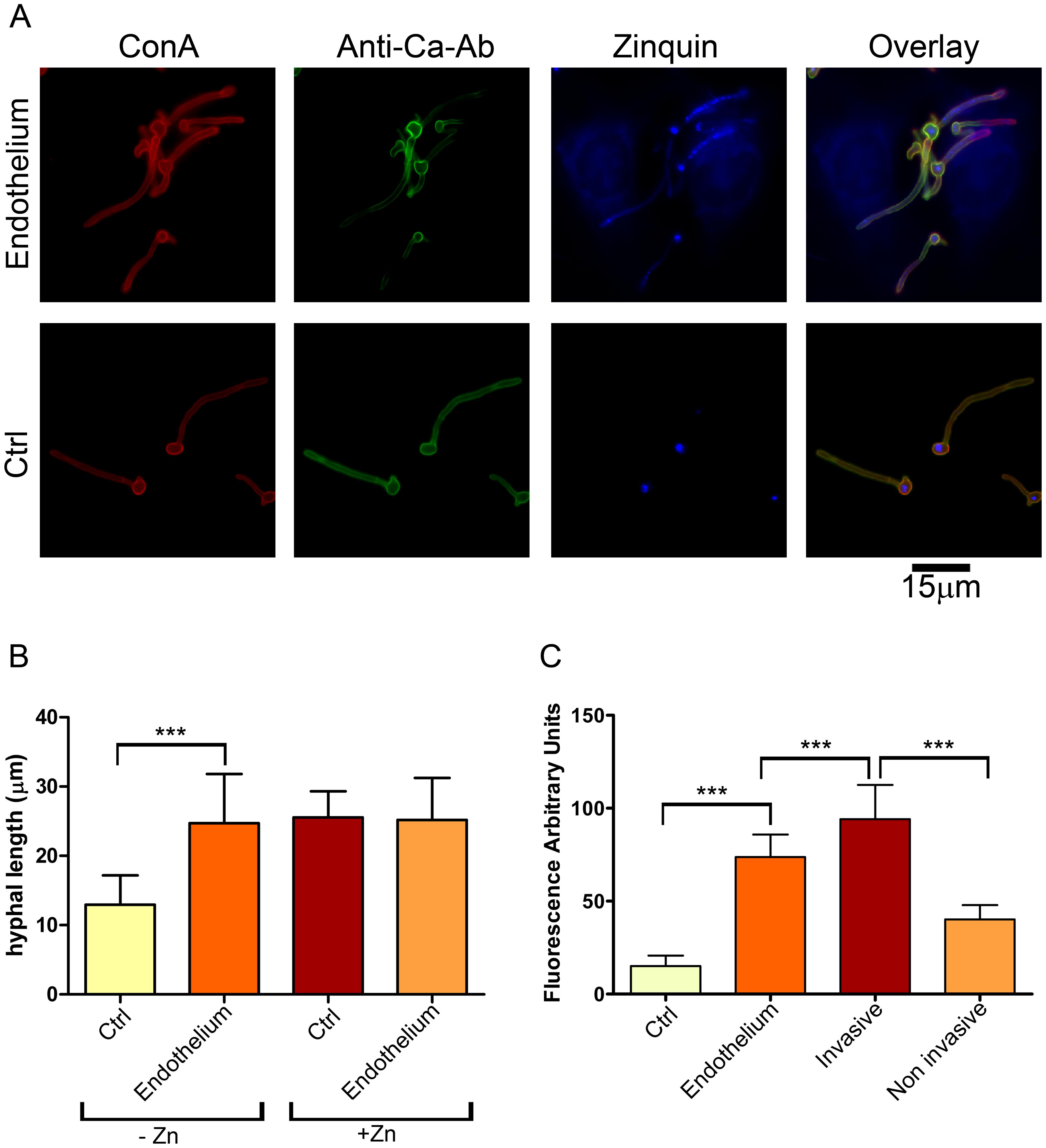 Invasive <i>C. albicans</i> hyphae sequester endothelial zinc.
