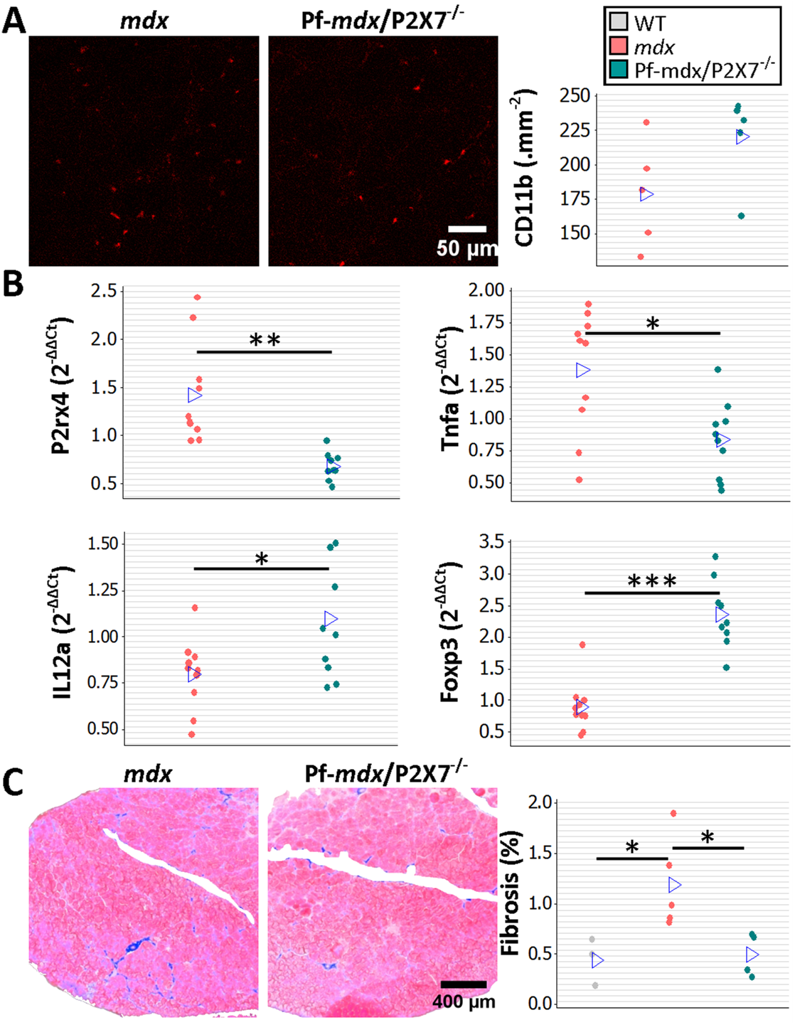 <i>P2RX7</i> ablation reduces inflammation and fibrosis in 20-mo-old tibialis anterior muscles.