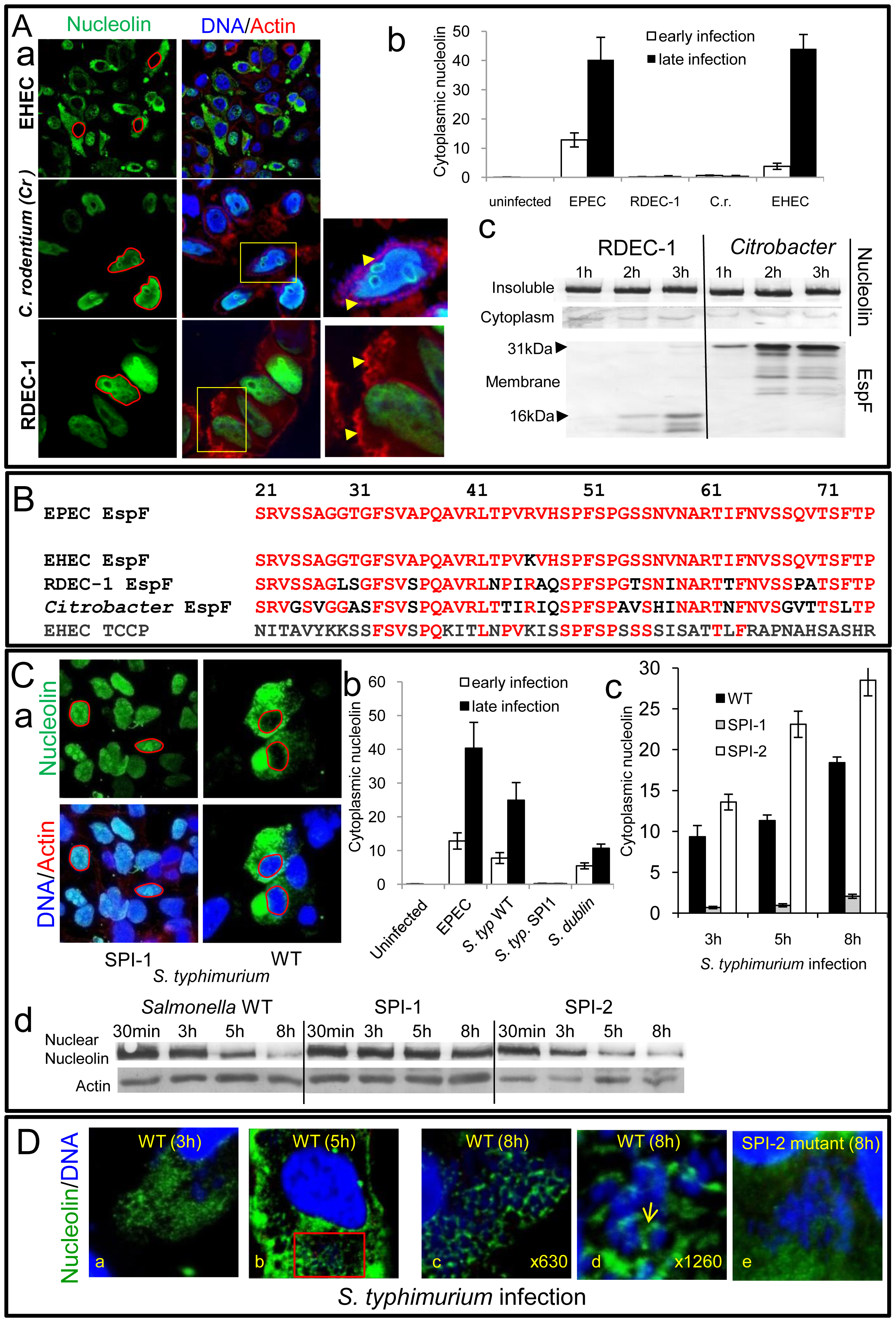 Nucleolin is mobilised by other bacterial pathogens dependent on effector delivery.