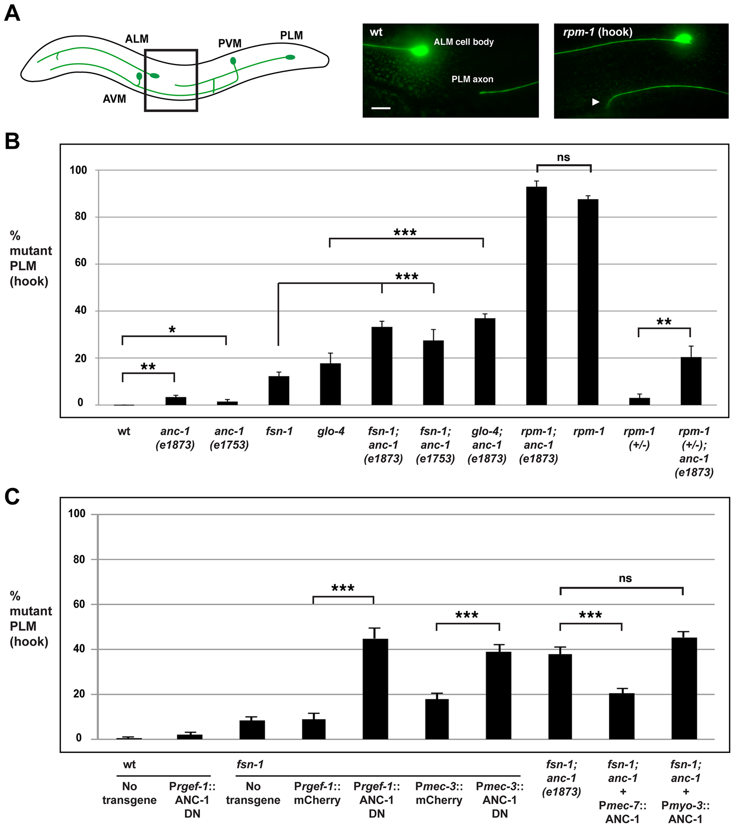 <i>anc-1</i> functions cell autonomously to regulate axon termination in the PLM mechanosensory neurons.