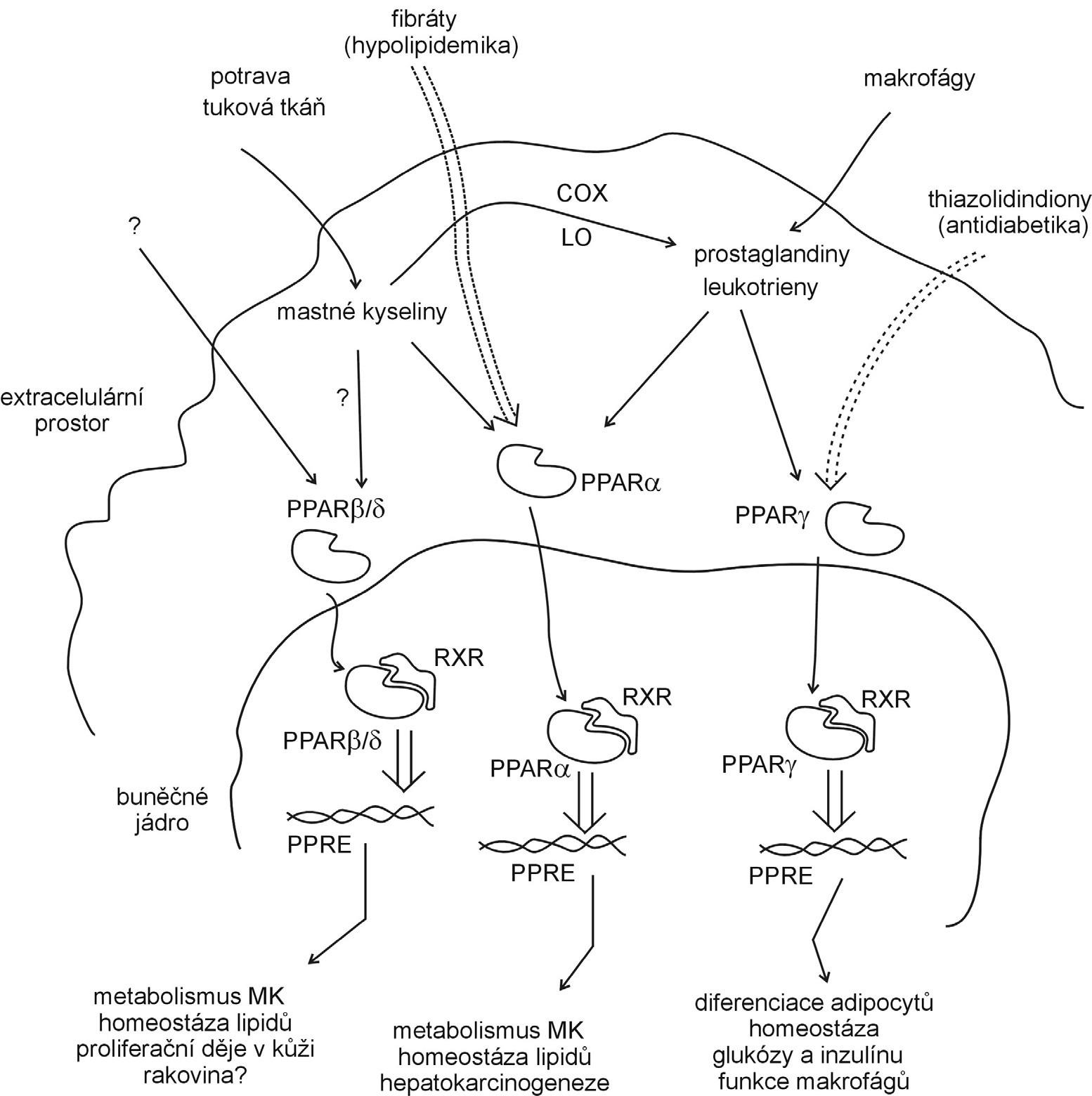 Mechanismus působení PPAR