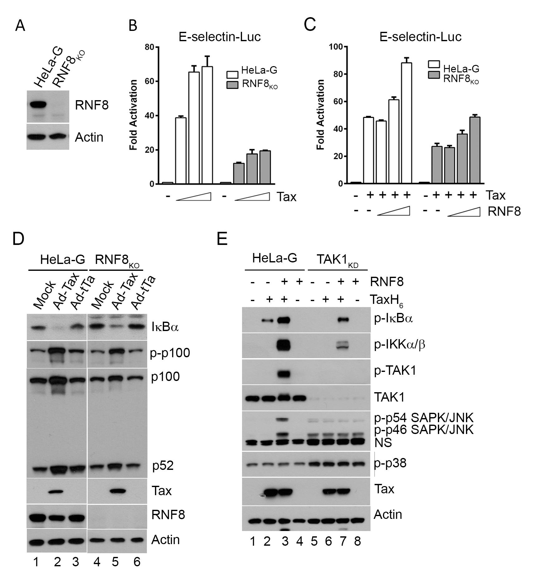 Tax and RNF8 potently activate IKK and the canonical NF-κB pathway.