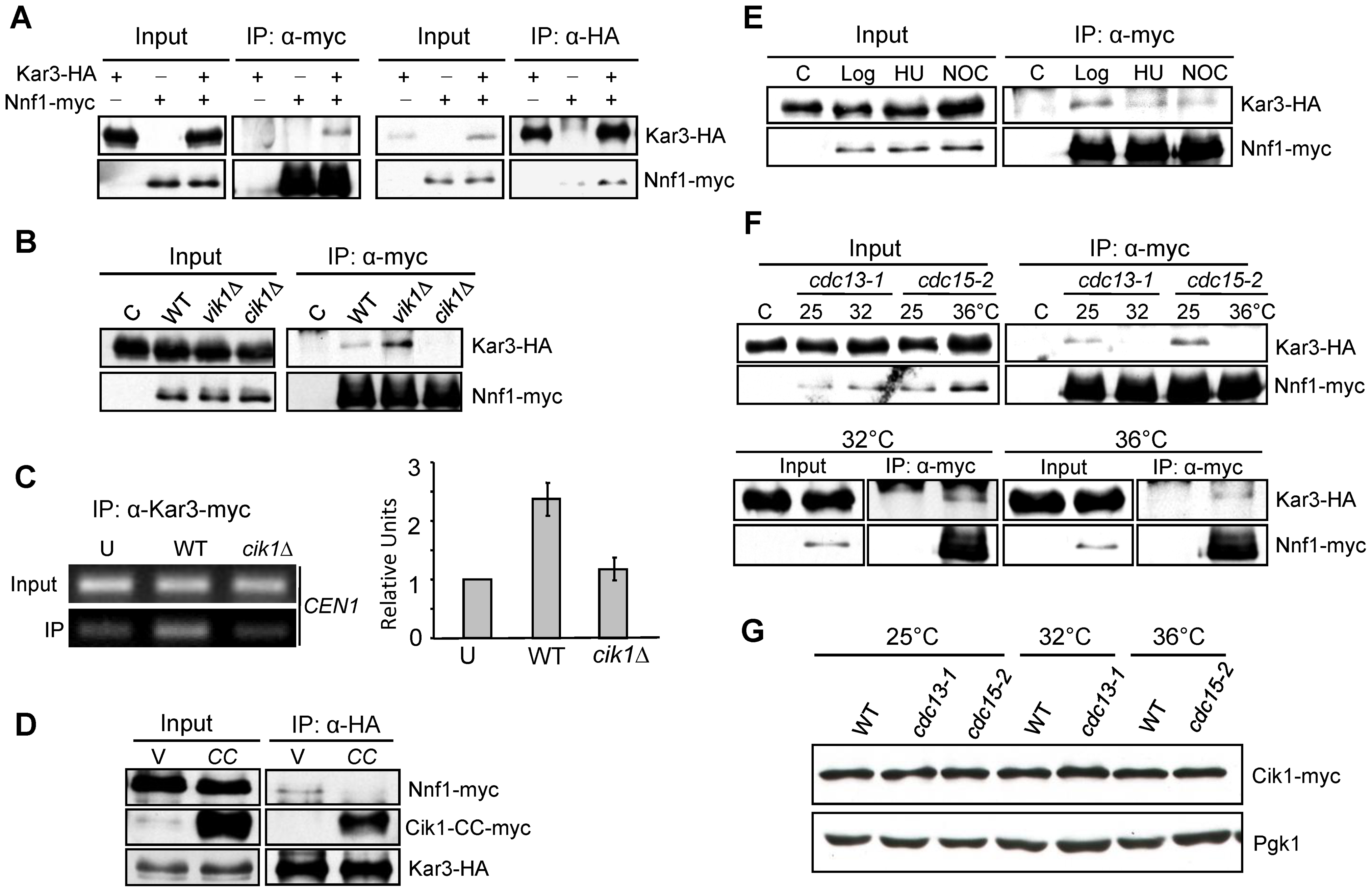Kar3–kinetochore interaction is Cik1-dependent and cell cycle–regulated.