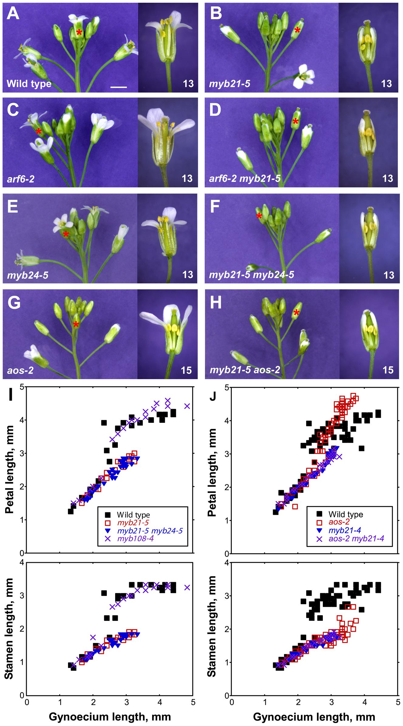 Inflorescence apices and flower phenotypes of <i>myb21</i>, <i>myb24</i>, <i>myb108</i>, and <i>aos</i> mutants.