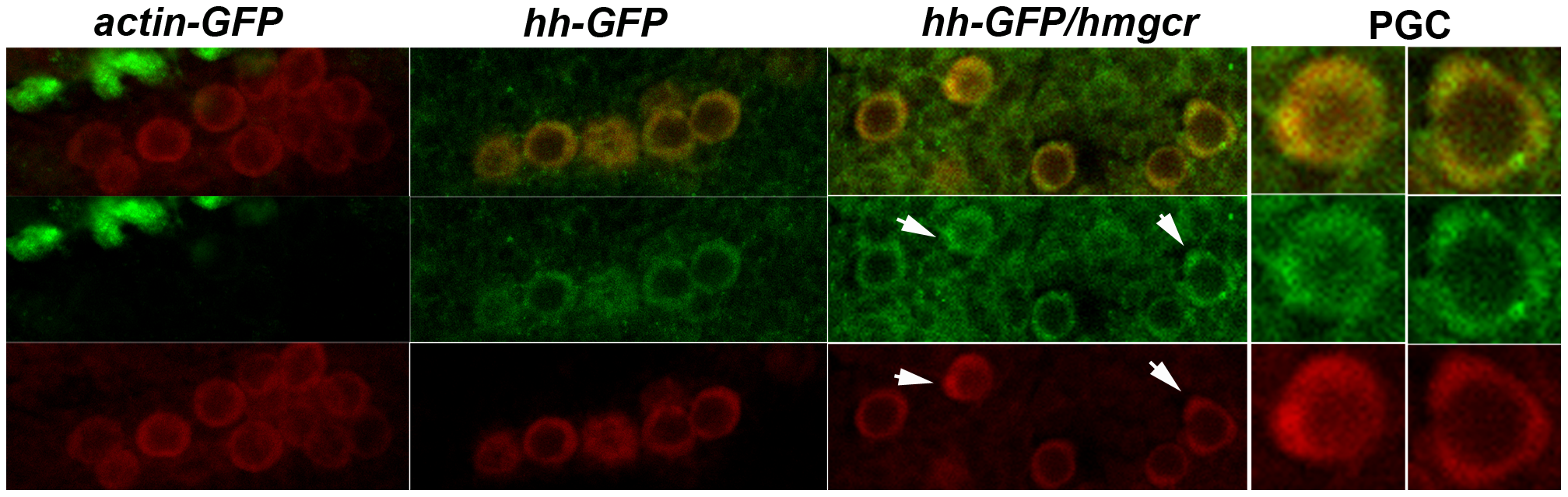Ectopically expressed Hh-GFP localizes near PGCs.
