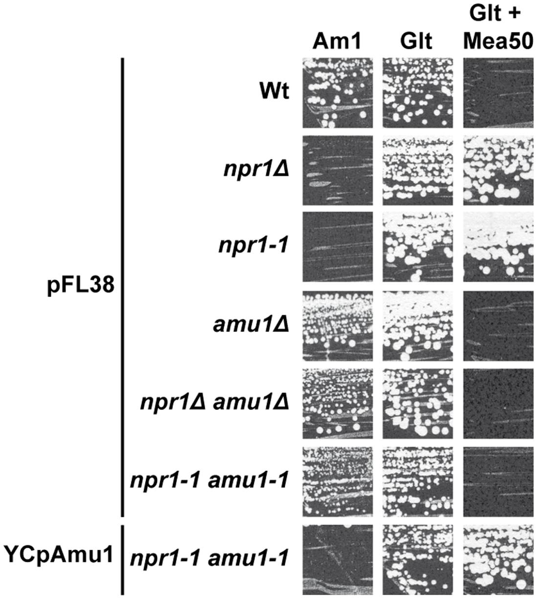 The <i>amu1</i> suppressor mutation restores growth of Npr1-lacking cells on ammonium.
