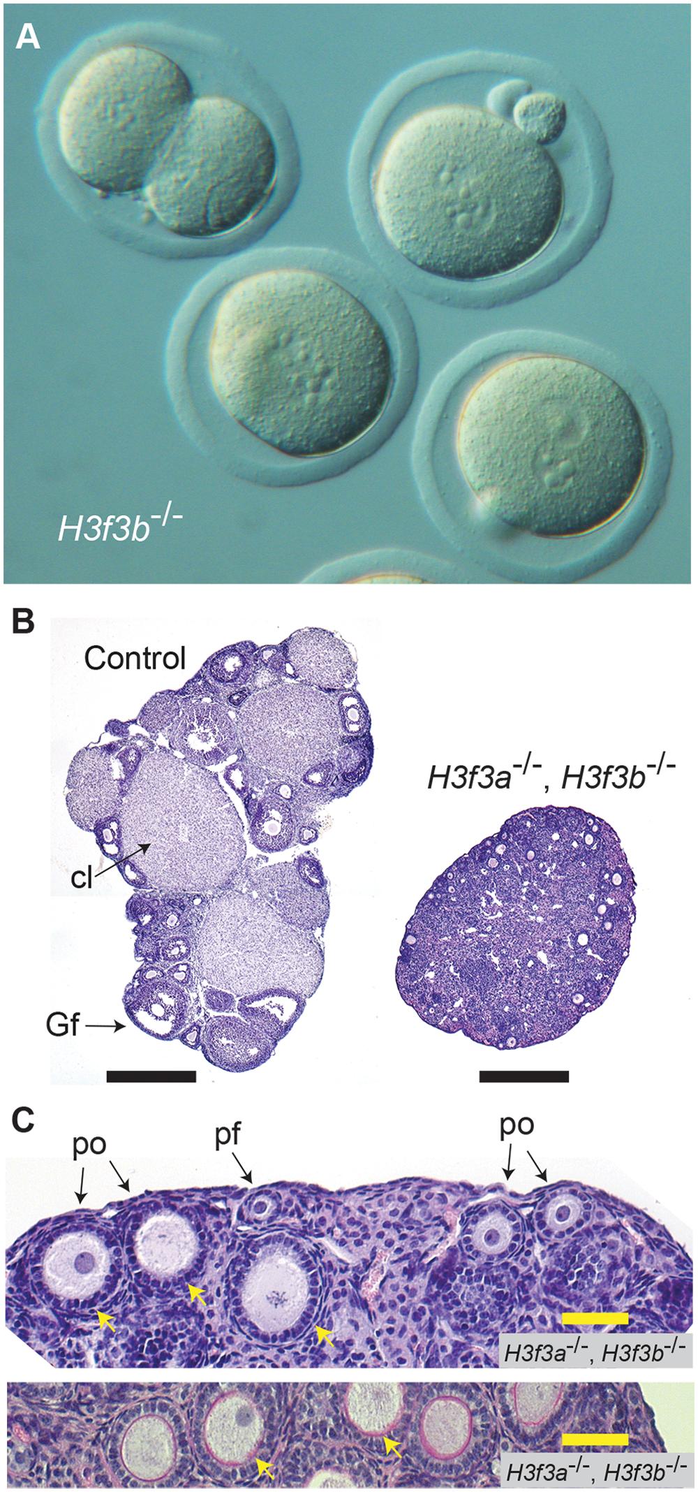 Developmental potential of <i>H3f3b</i> mutant zygotes, and <i>H3f3a</i>, <i>H3f3b</i> double-mutant follicles.