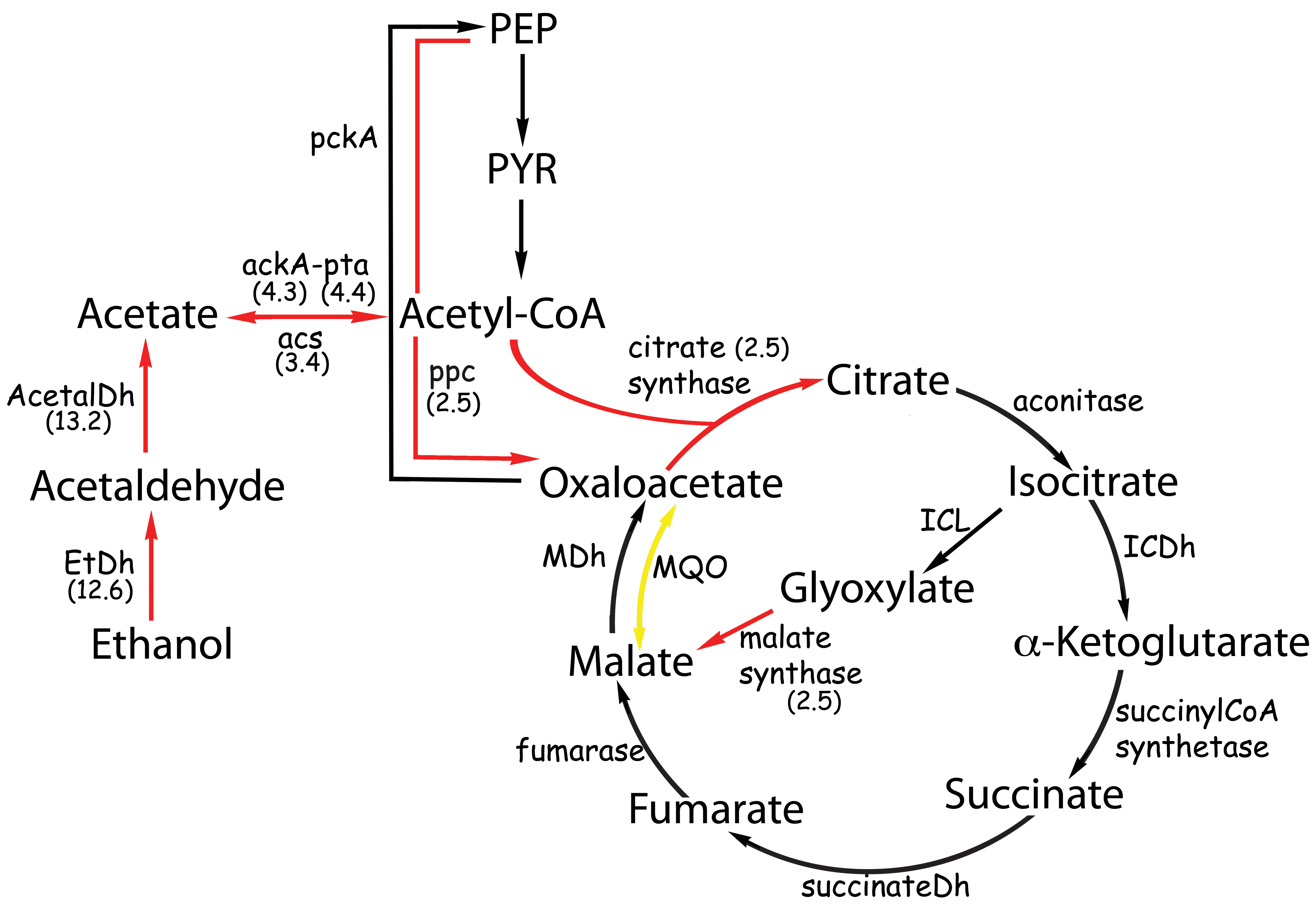 Metabolic pathways affected by the presence of ethanol.