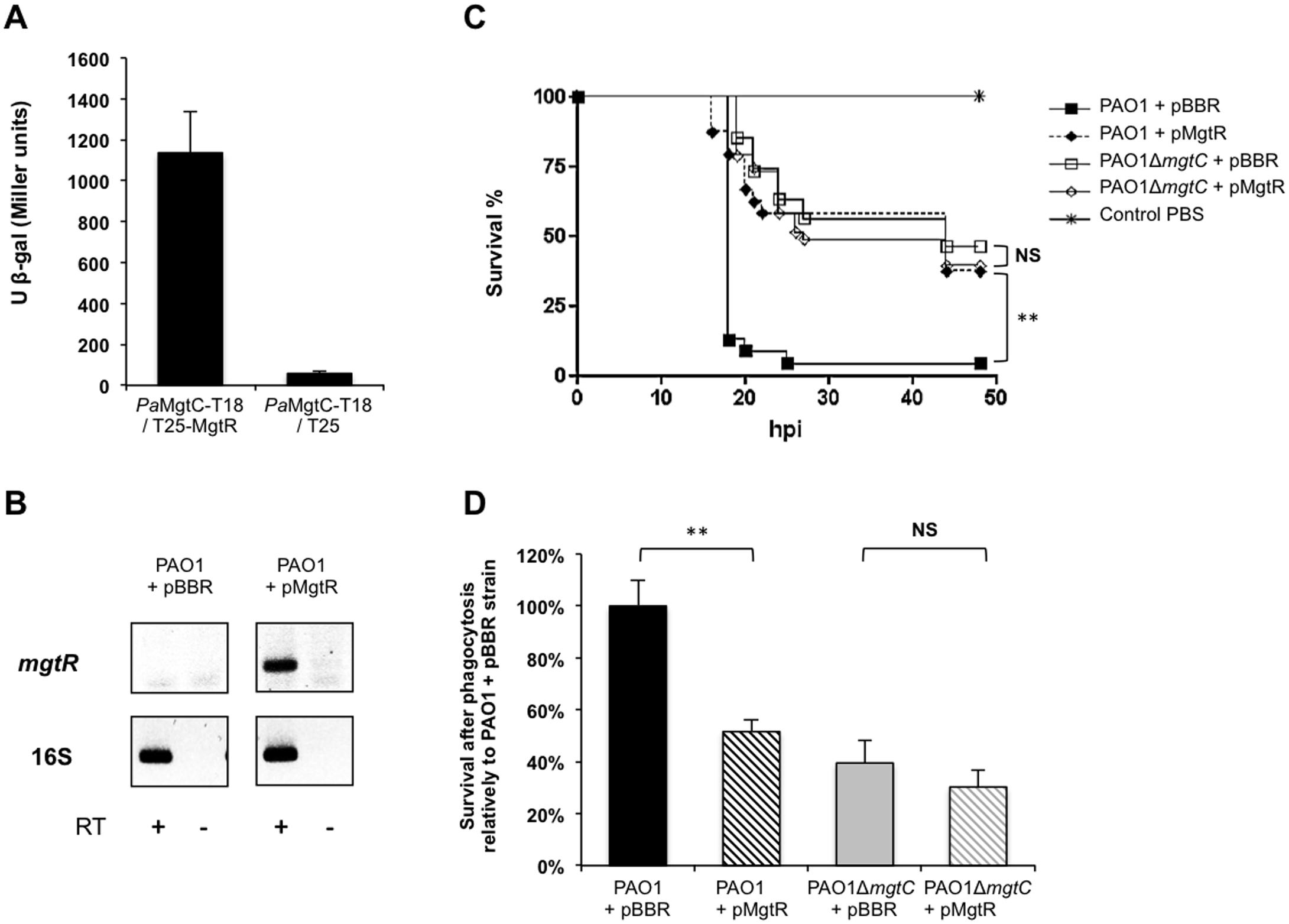 Virulence phenotypes of a PAO1 strain expressing <i>mgtR</i>.