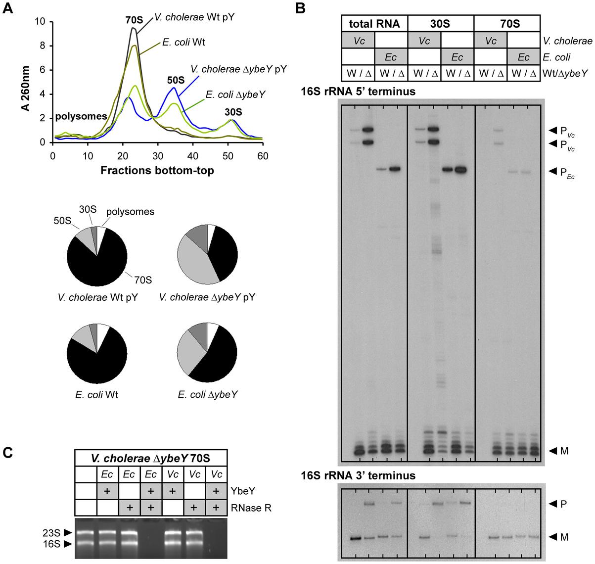 Comparison of ribosome profiles and 16<i>V. cholerae</i> Δ<i>ybeY</i> and <i>E. coli</i> Δ<i>ybeY</i>.