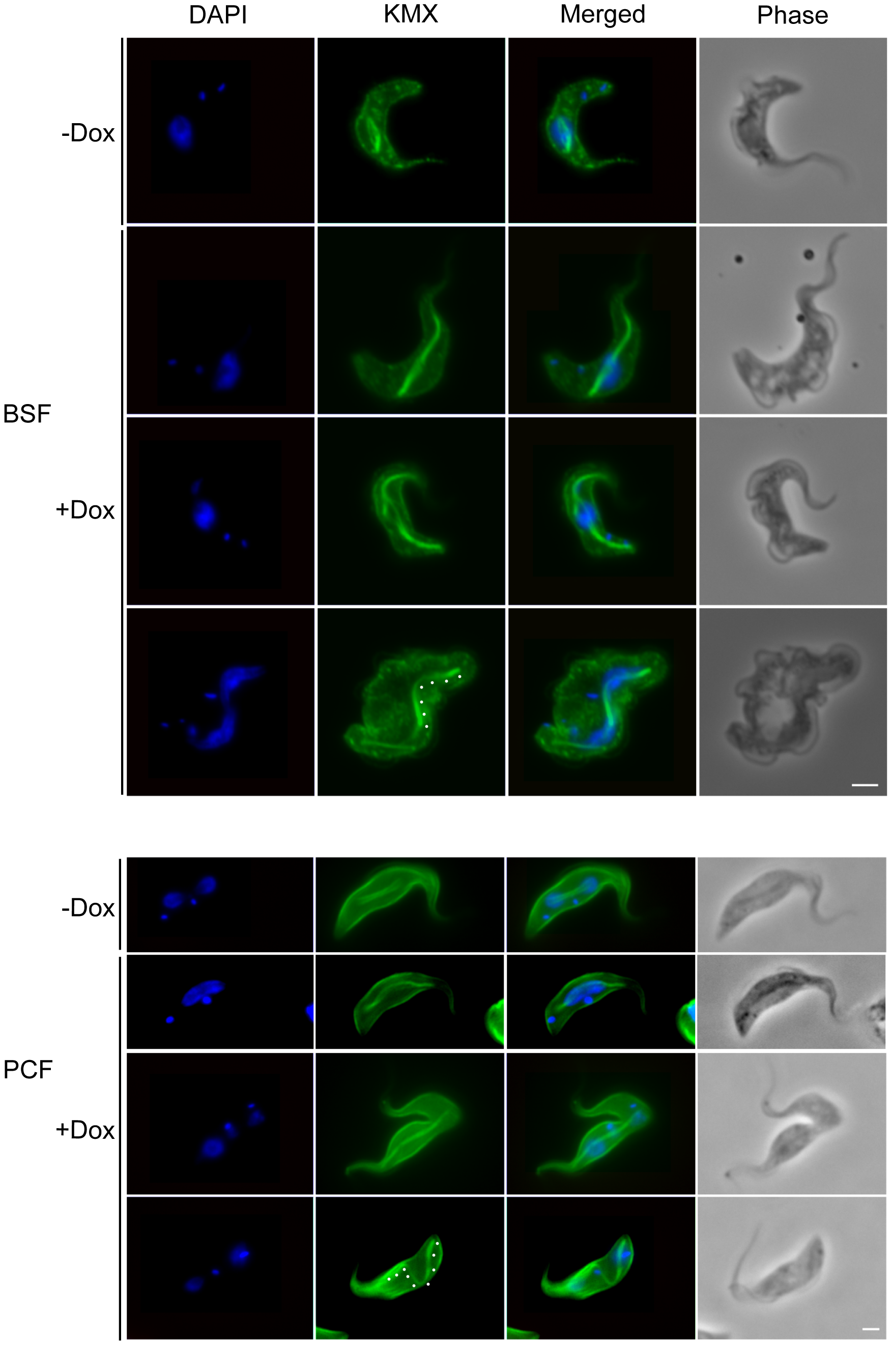 TbKif13-1 depletion causes an extended spindle phenotype.