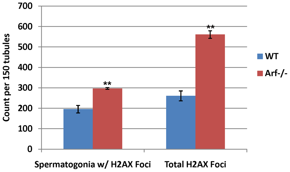 <i>Arf</i> deficiency leads to increased γ-H2AX foci in spermatogonia.