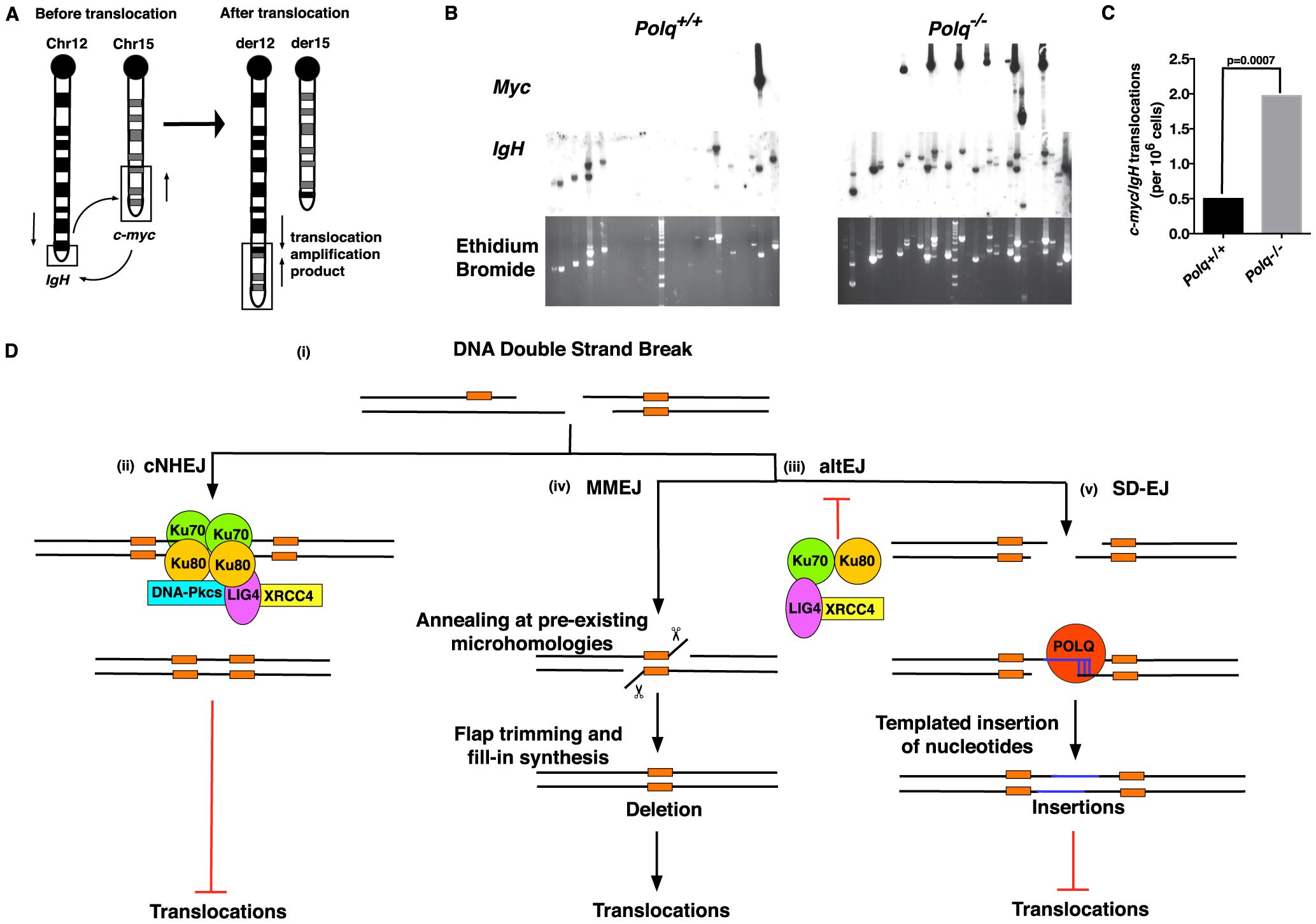 POLQ suppresses chromosomal translocation <i>in vivo</i>.