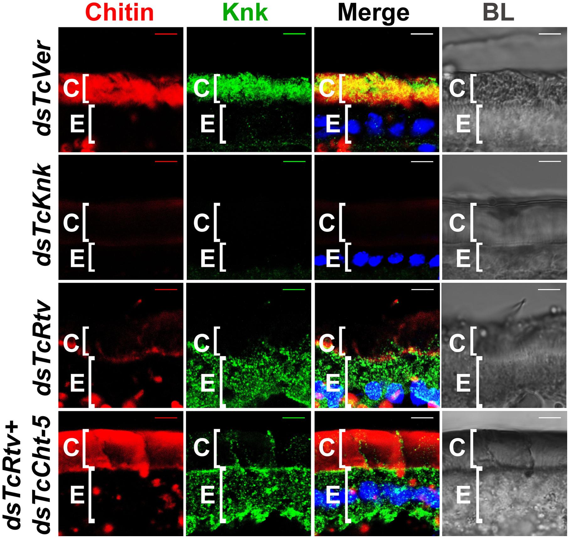 TcRtv influences the localization of TcKnk to the procuticle.