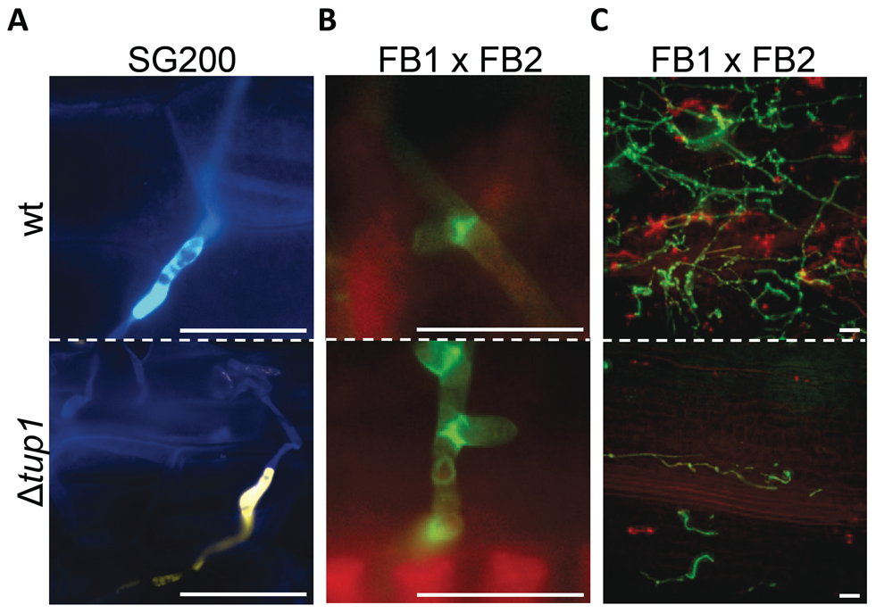Appressorium, clamp-like cells formation and mycelium expansion of <i>tup1</i> mutants.