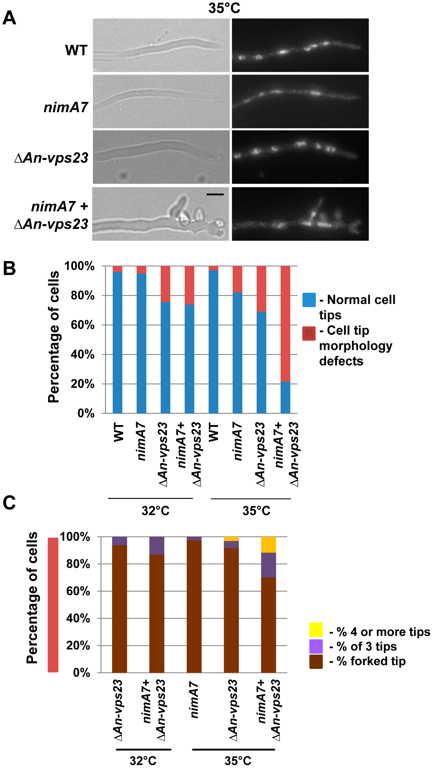 NIMA functions in concert with An-Vps23 to maintain cell tip apical dominance.