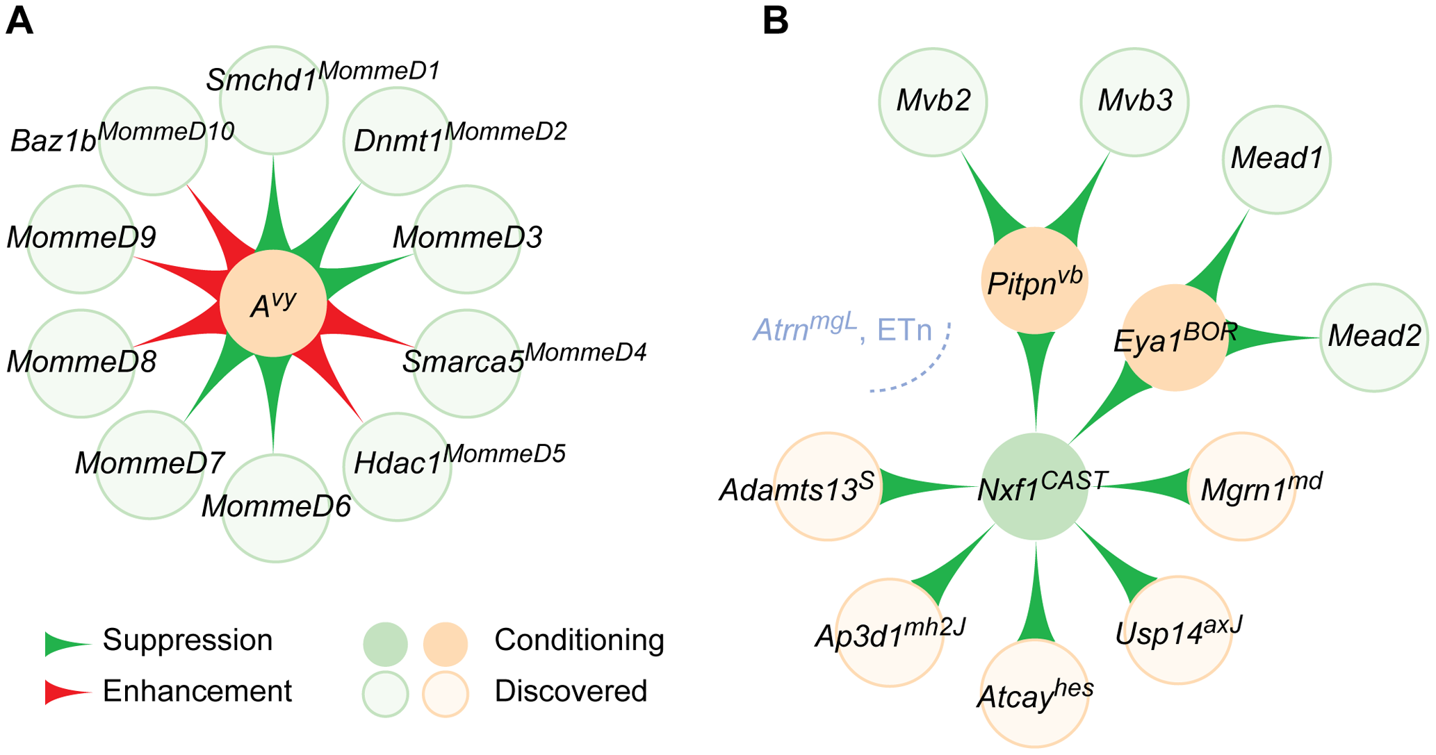 Modifier gene networks have directional edges between nodes.