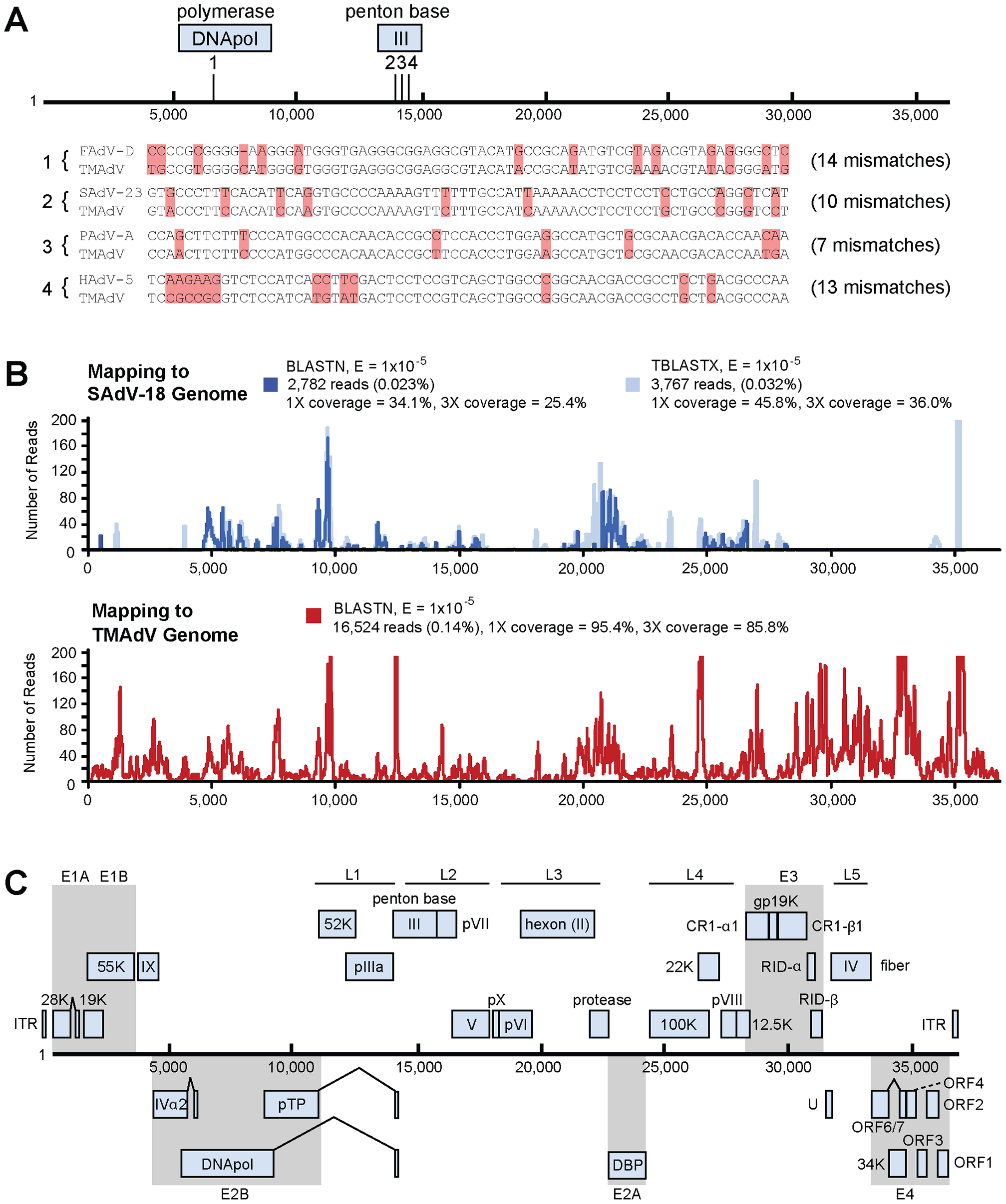 Discovery and whole-genome characterization of the novel adenovirus TMAdV.
