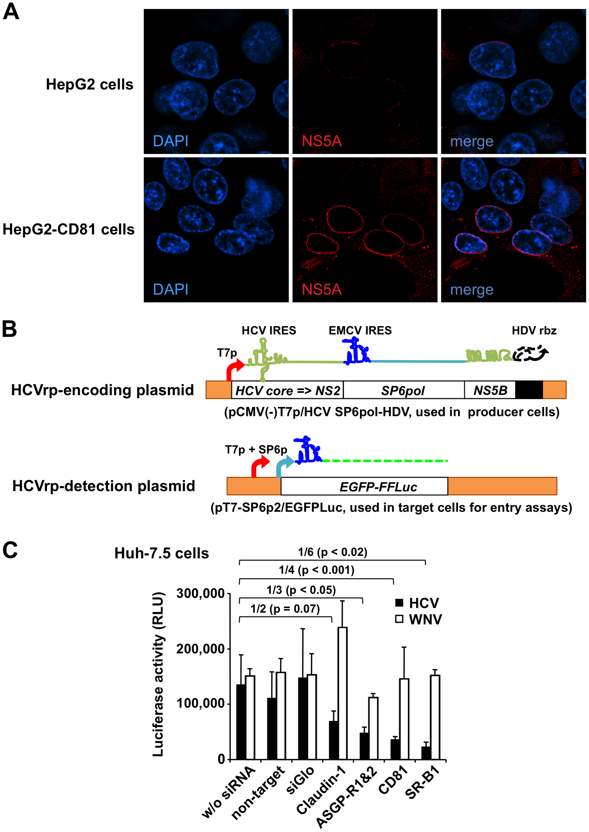 Study of entry of BHK-WNV cell-produced HCV particles.