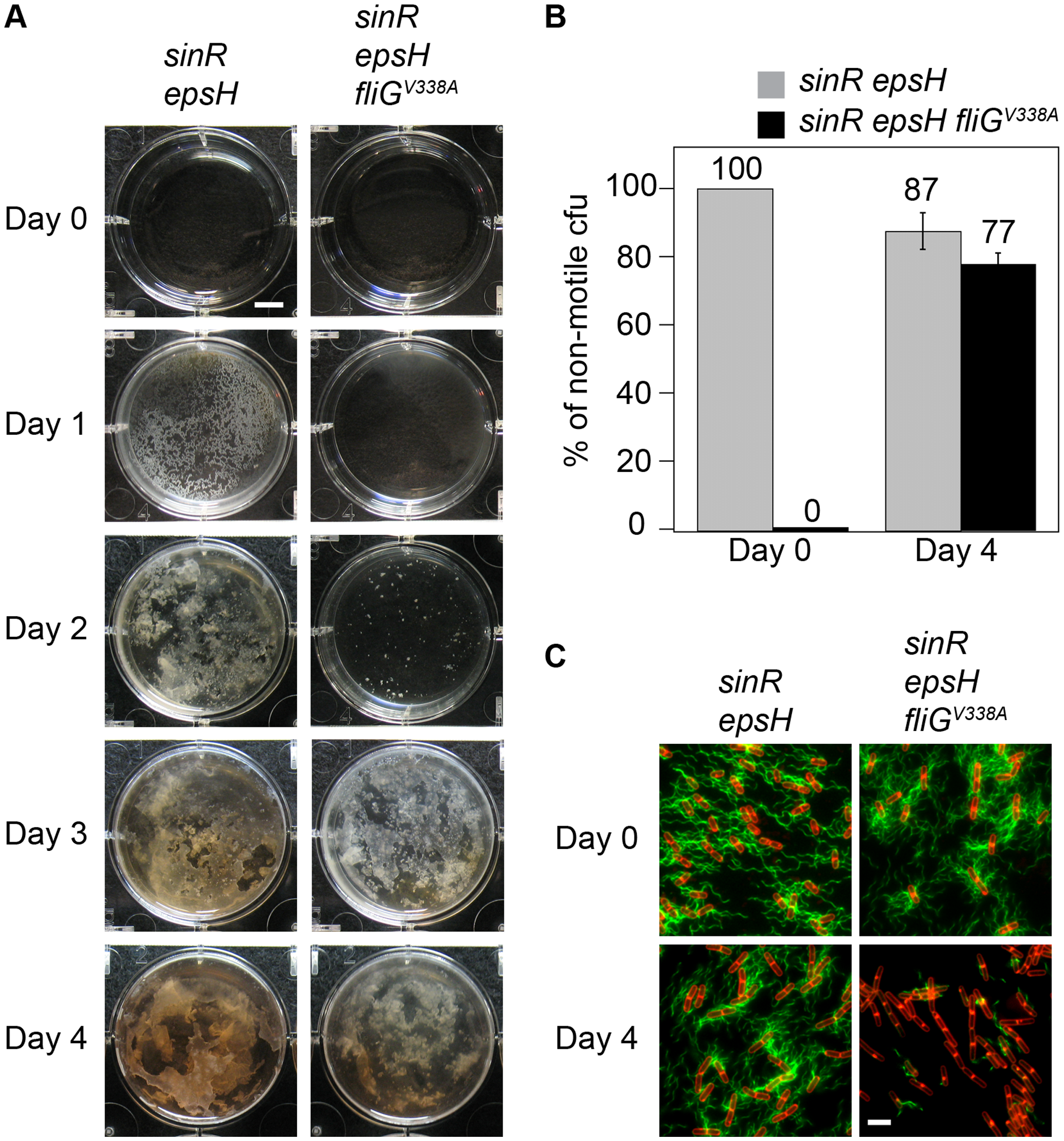Motility inhibition enhances biofilm formation.
