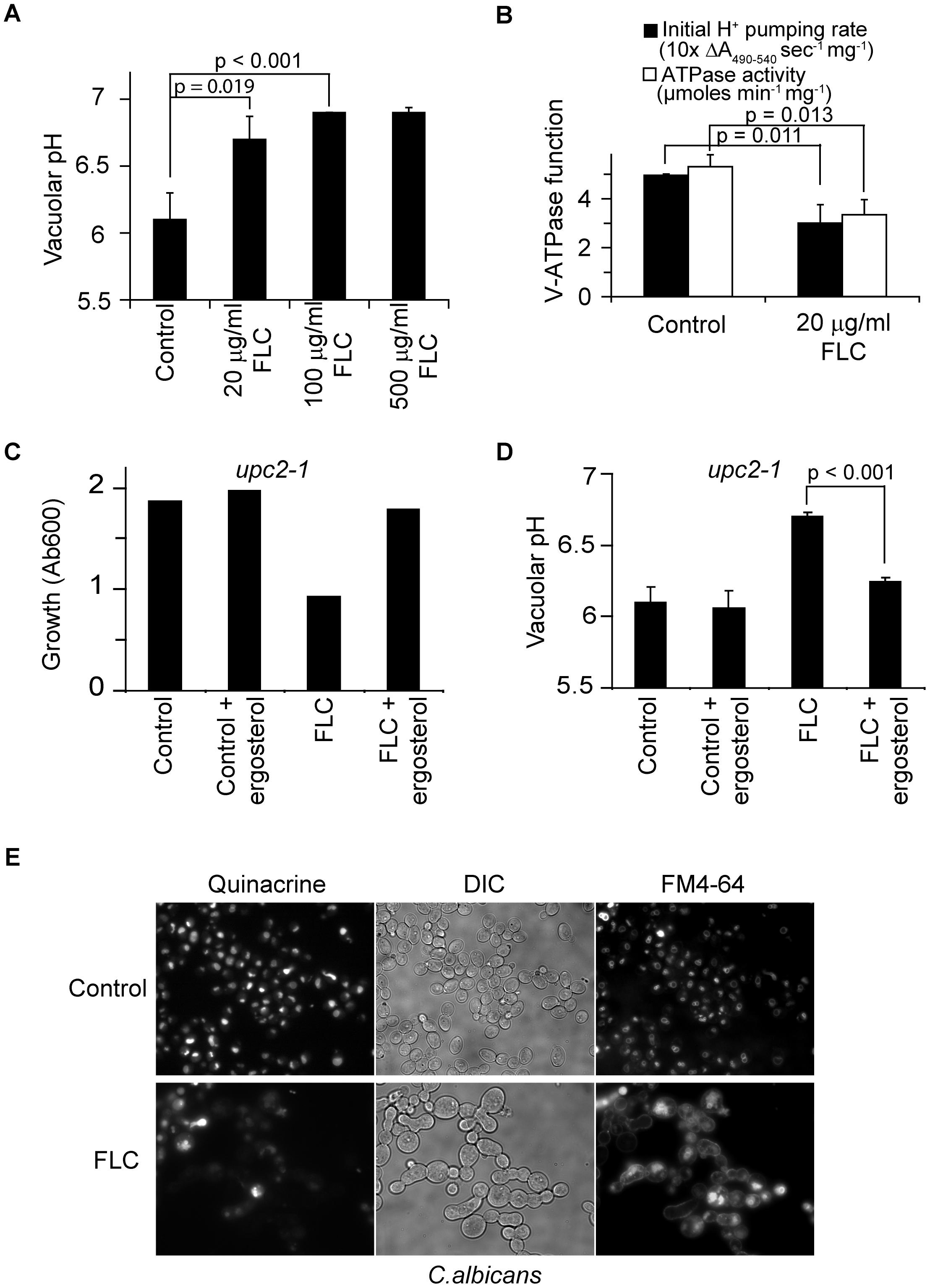 Fluconazole treatment disrupts V-ATPase function.