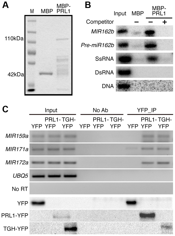 PRL1 binds pri-miRNAs <i>in vitro</i> and <i>in vivo</i>.