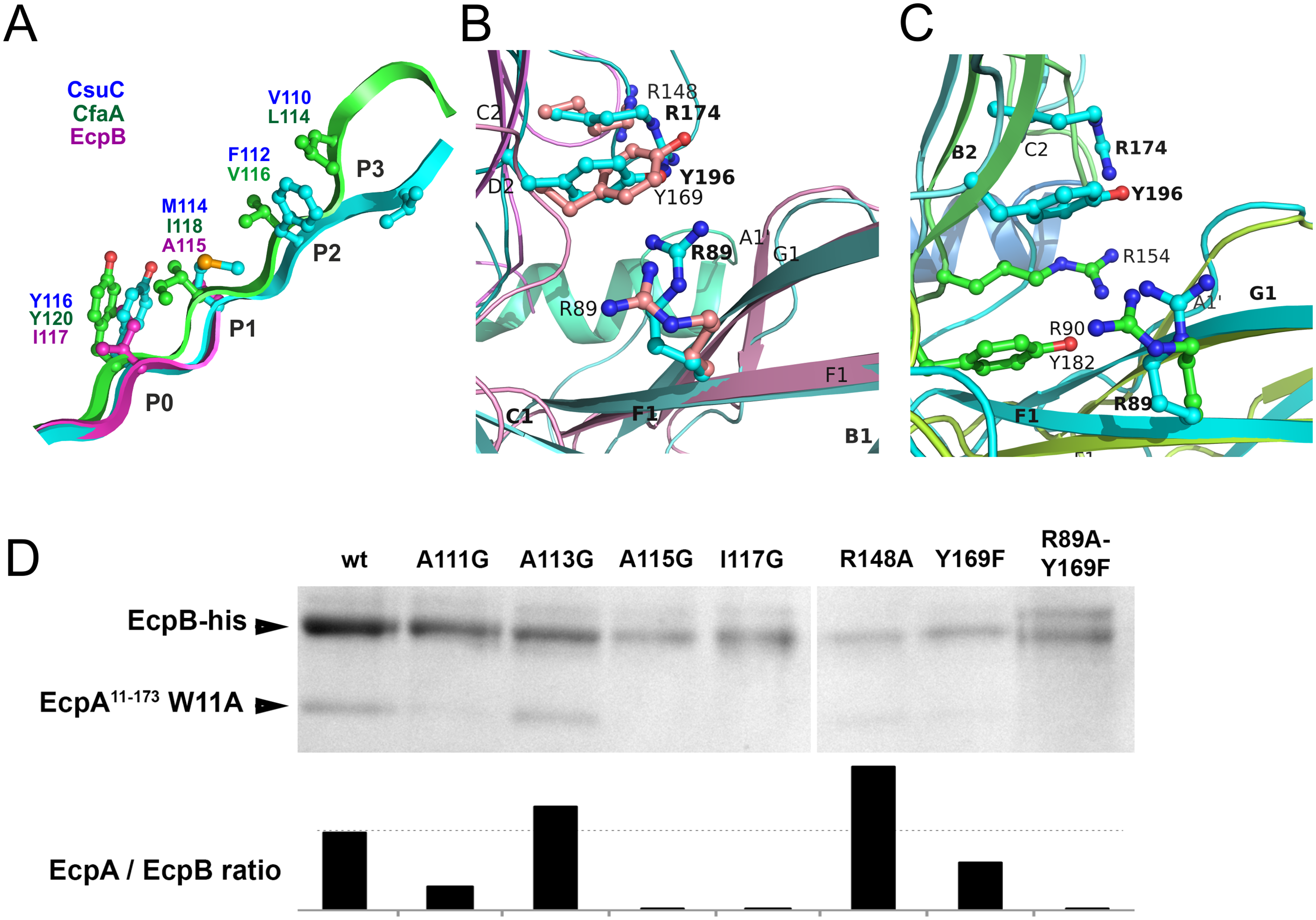 Both archaic and alternative chaperones bind to subunits by using register-shifted donor strand complementation and two-domain carboxylate anchor.