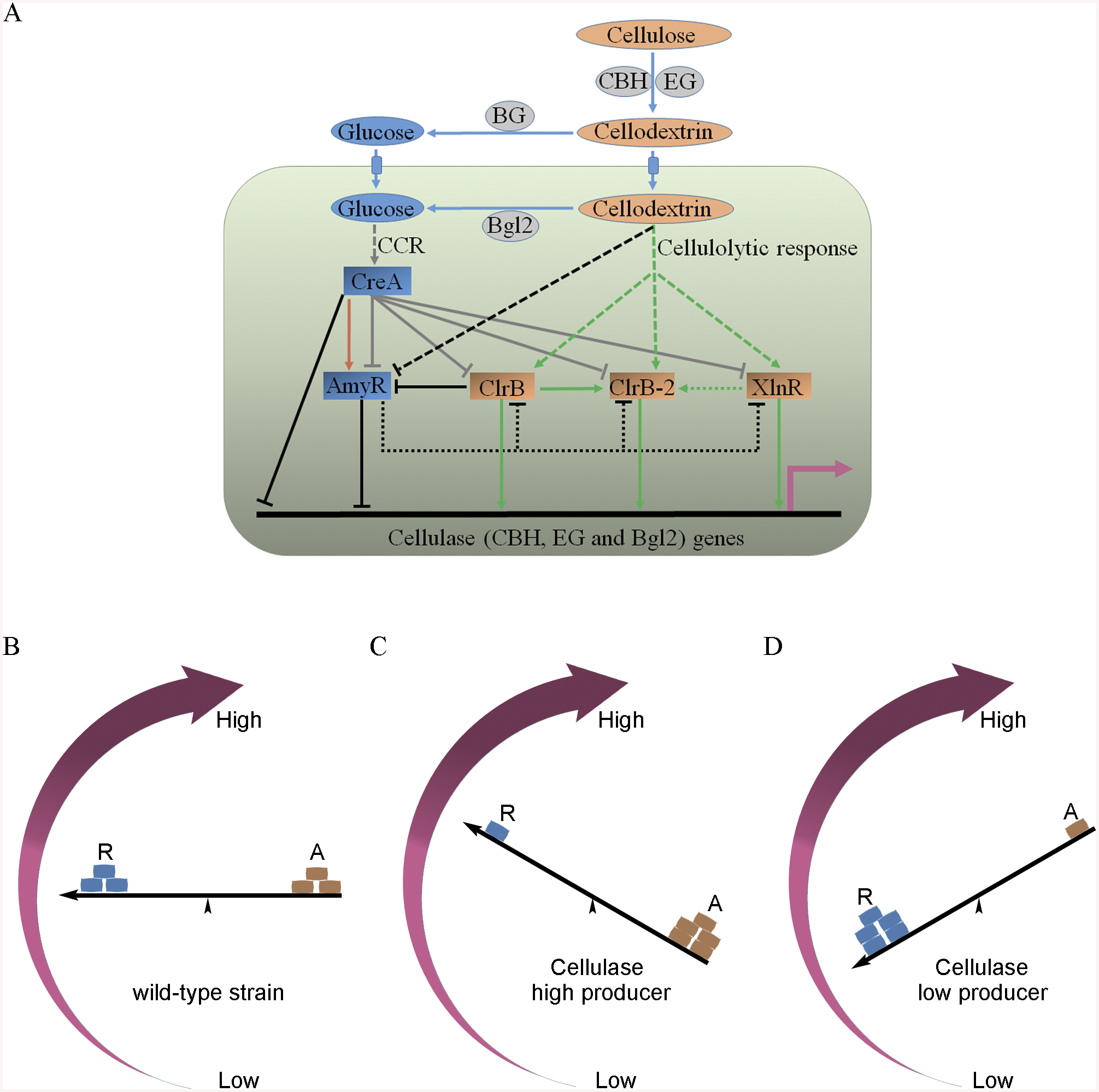 Model of regulation of cellulase expression by ClrB, CreA, AmyR, XlnR and ClrB-2 in <i>P</i>. <i>oxalicum</i>.