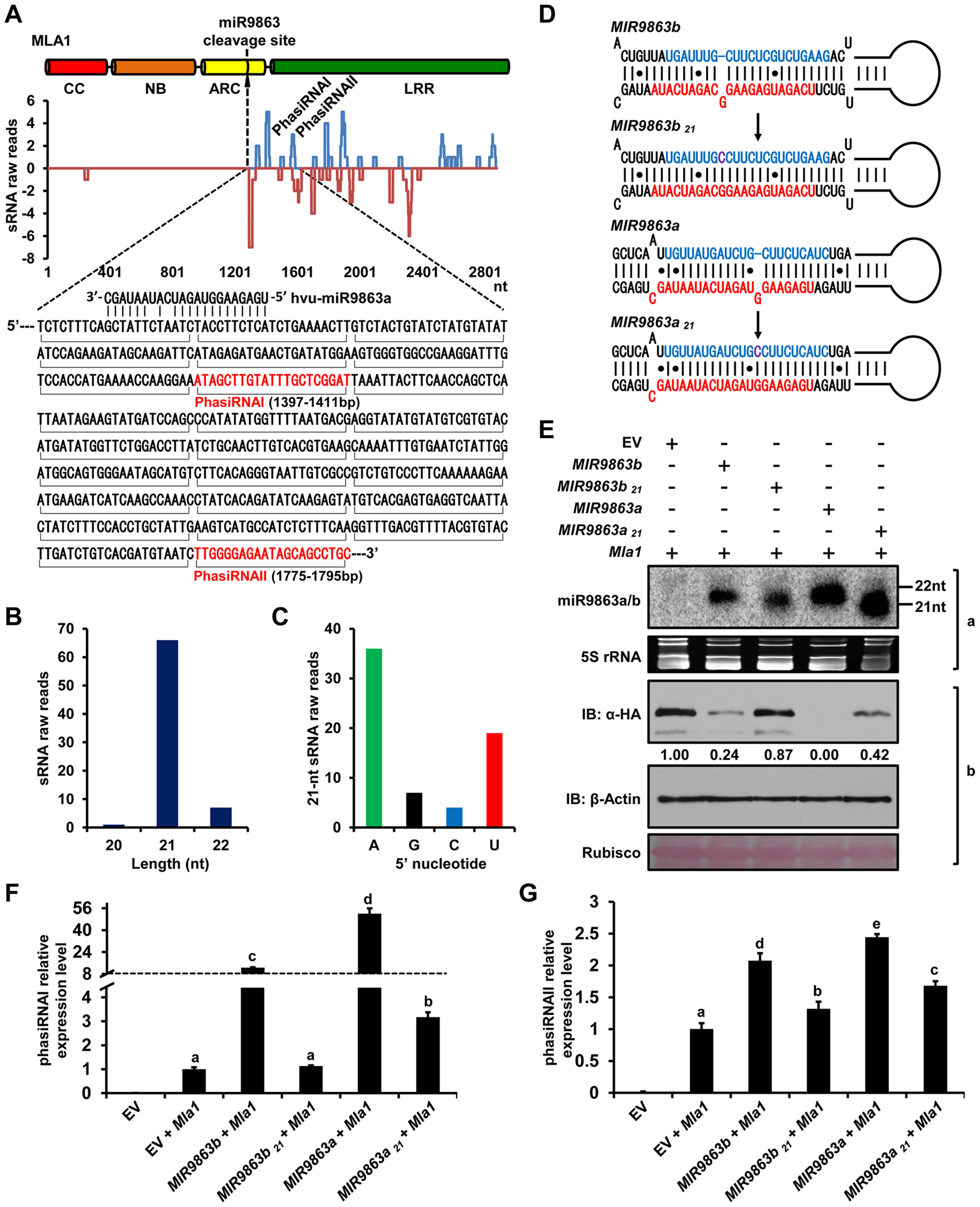 22-nt miR9863s trigger the production of phasiRNAs with <i>Mla1</i> transcripts.