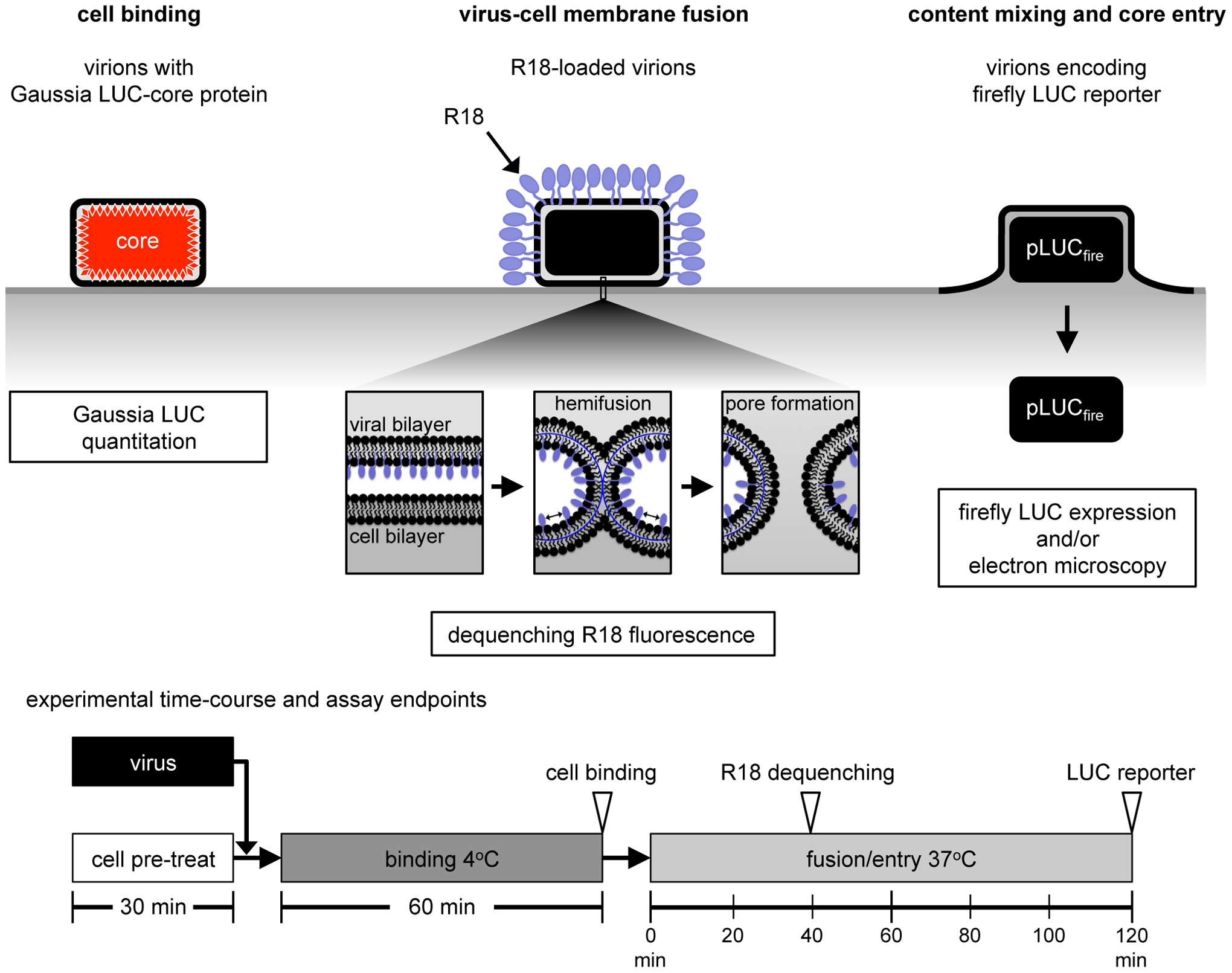 Virion binding, lipid mixing and core entry assays.
