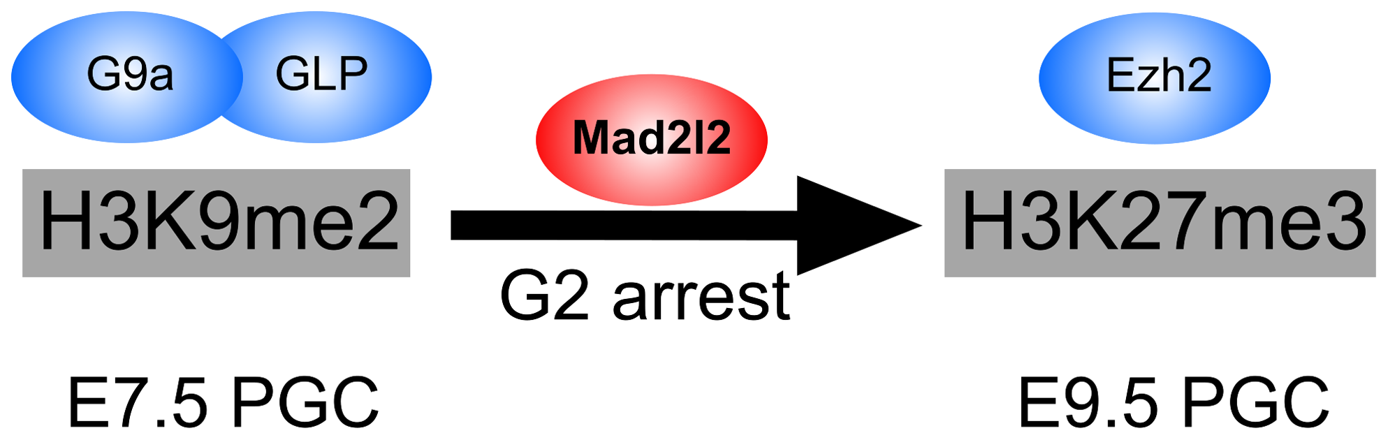 The role of Mad2l2 in epigenetic reprogramming and G2 arrest in PGCs.