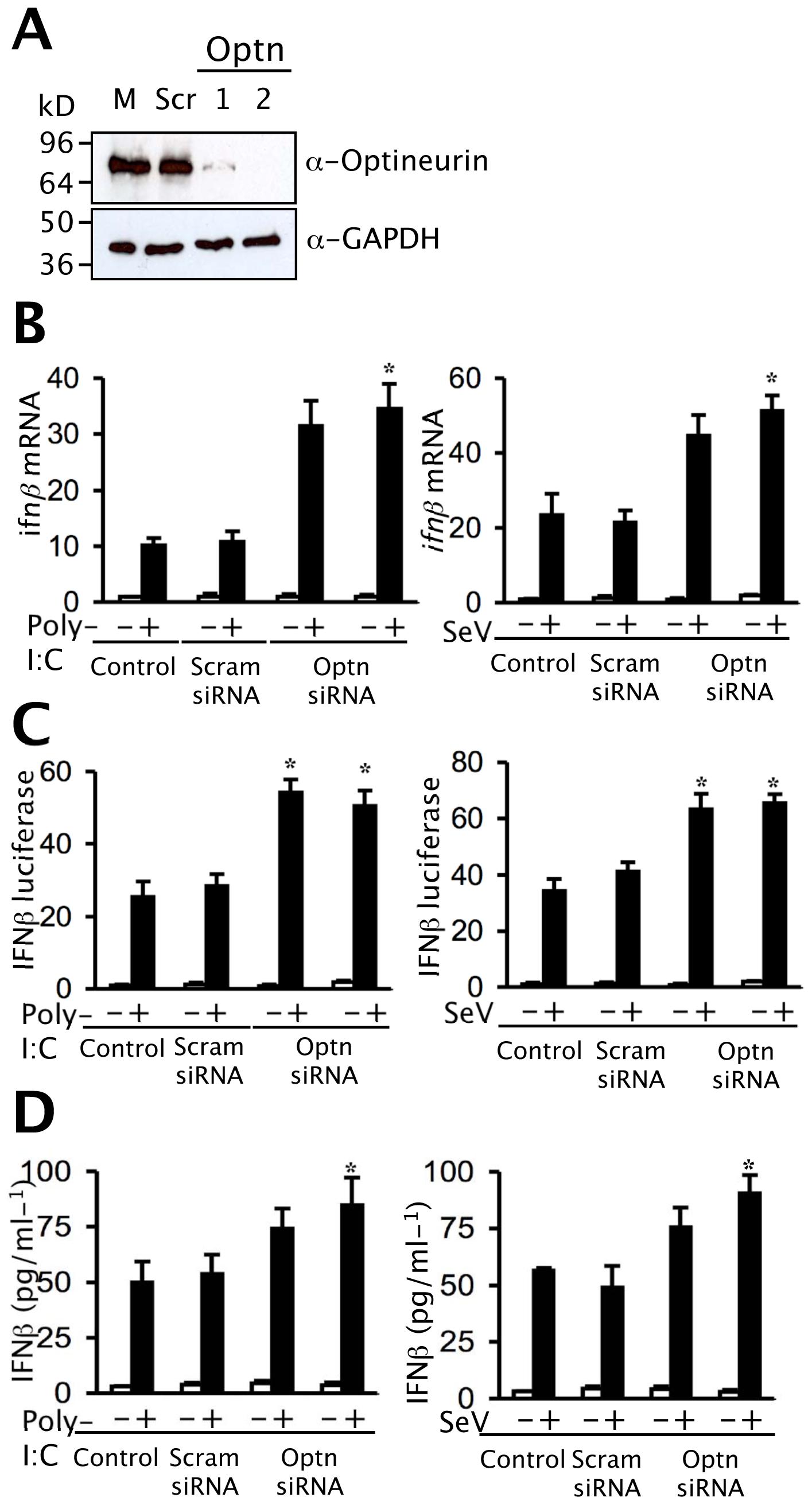 Depletion of optineurin enhances the induction of <i>ifnβ</i>.