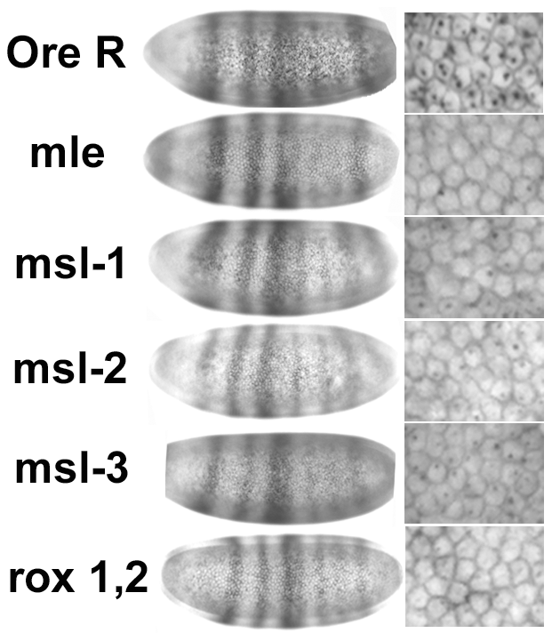 Reduced in situ signal in <i>Sxl</i> is not accompanied by reduced signal in another unrelated gene.