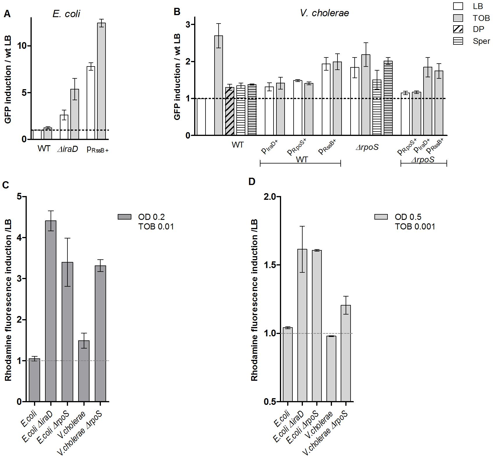 RpoS protects <i>E.</i>coli and <i>V. cholerae</i> from tobramycin-dependent SOS induction and ROS formation.