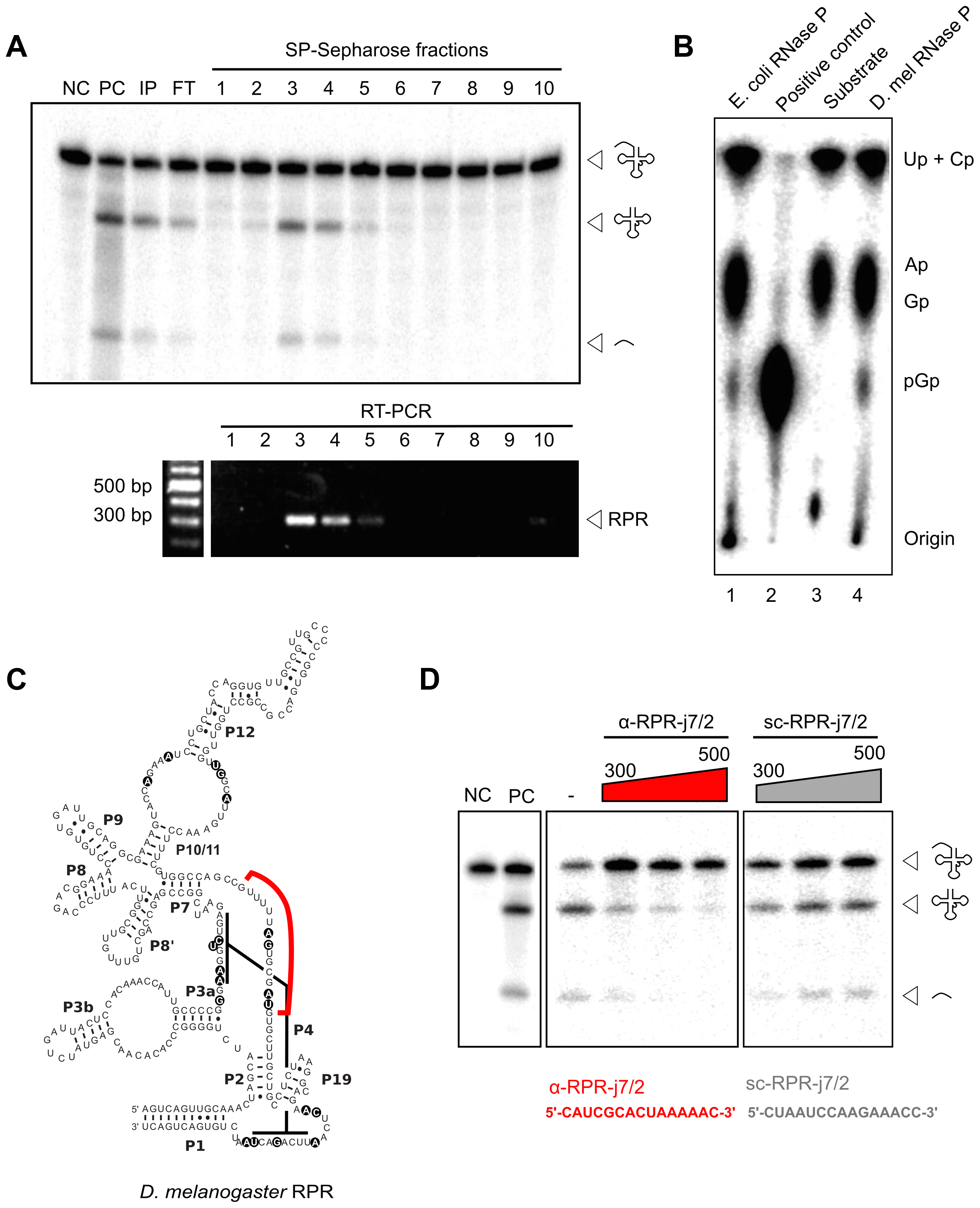 <i>D. melanogaster</i> RPR co-purifies with RNase P and is required for its activity.