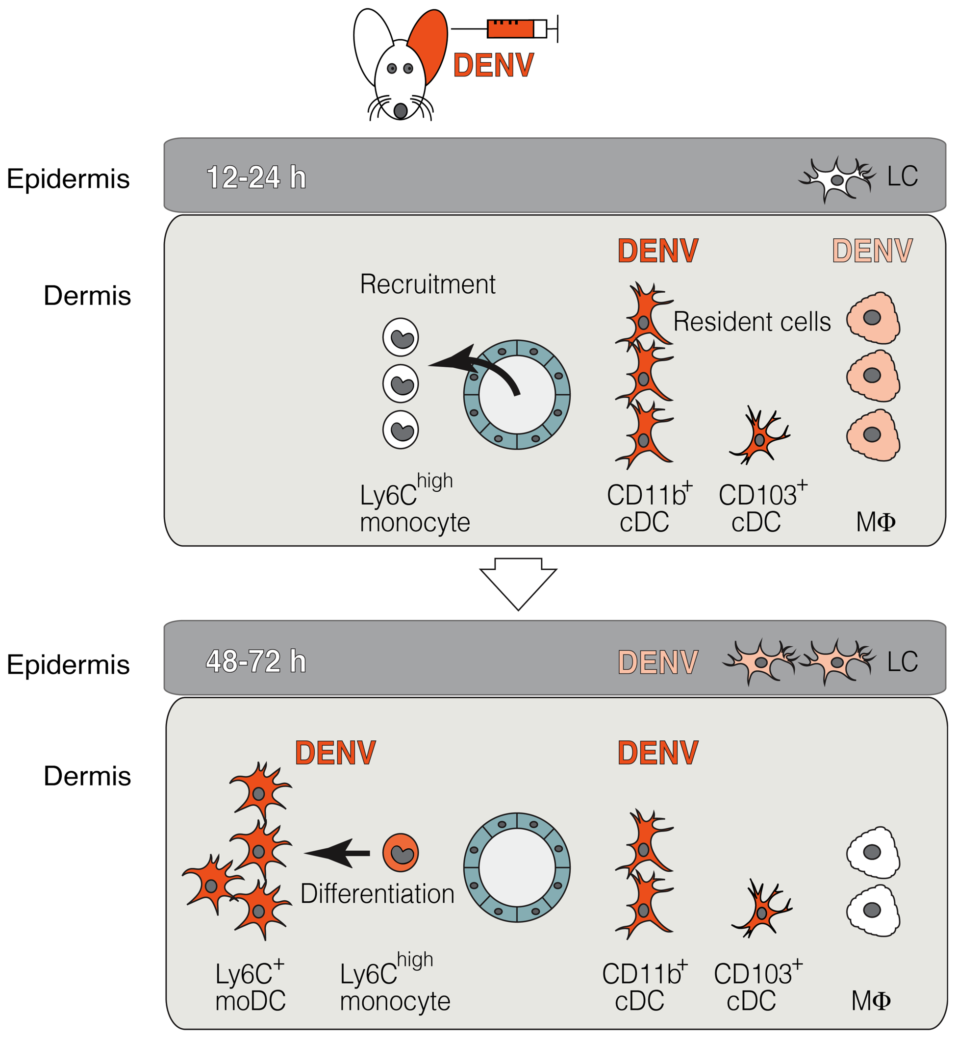 The two waves of DENV infection in the skin.