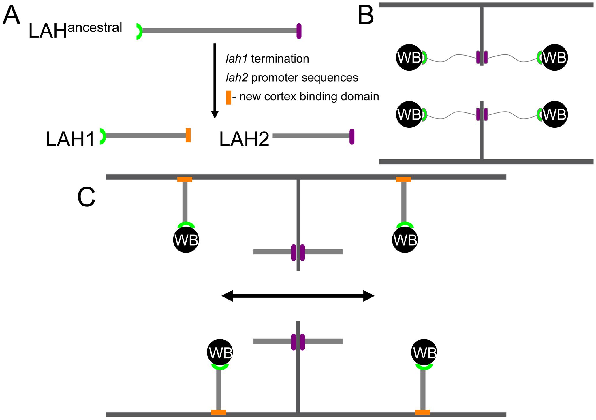 A dispersed septal plug (Woronin body [WB]) may facilitate rapid cytoplasmic streaming and hyphal growth in <i>N. crassa</i>.