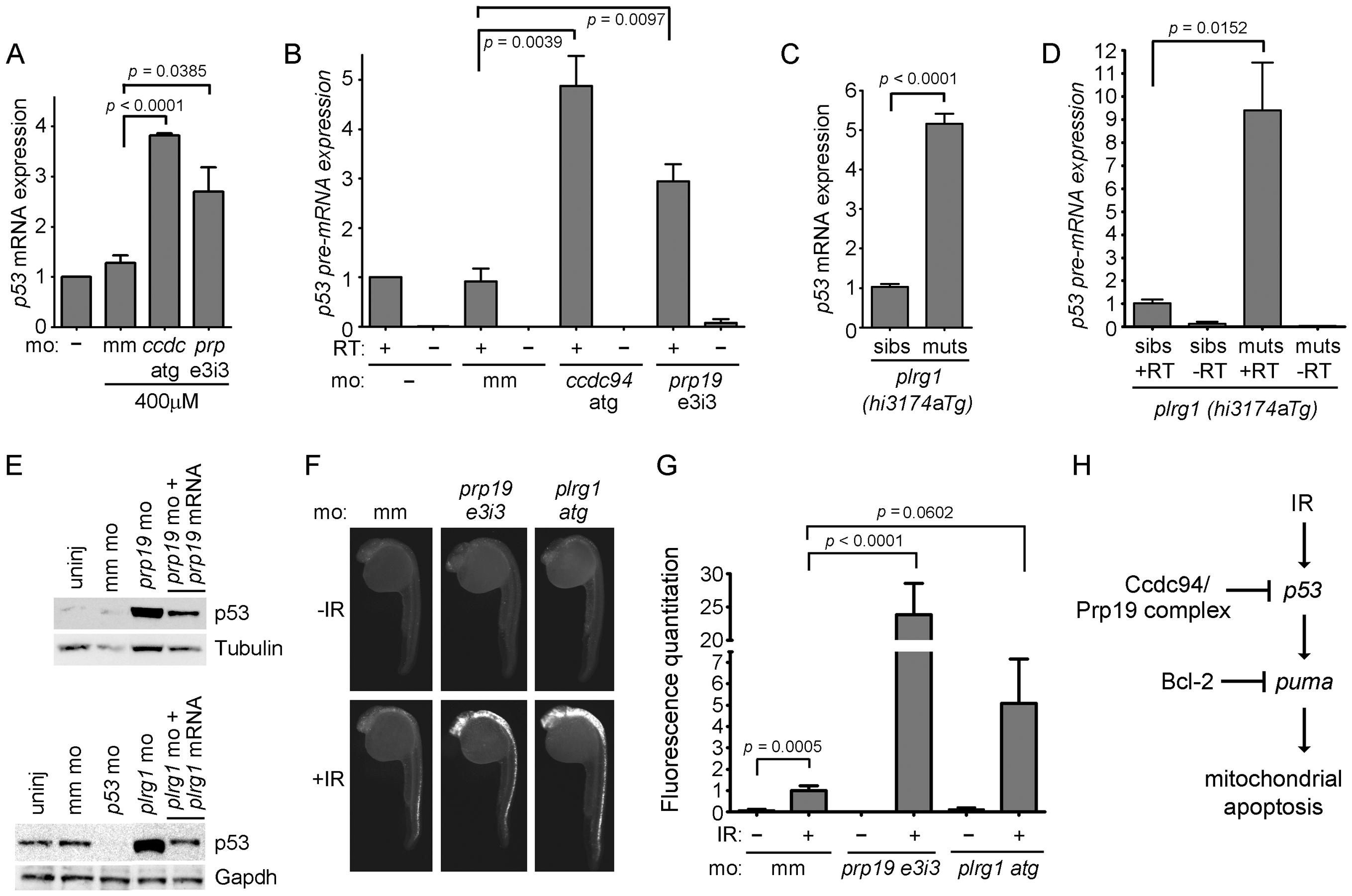 Loss of <i>prp19</i> or <i>plrg1</i> phenocopies, loss of <i>ccdc94</i>.