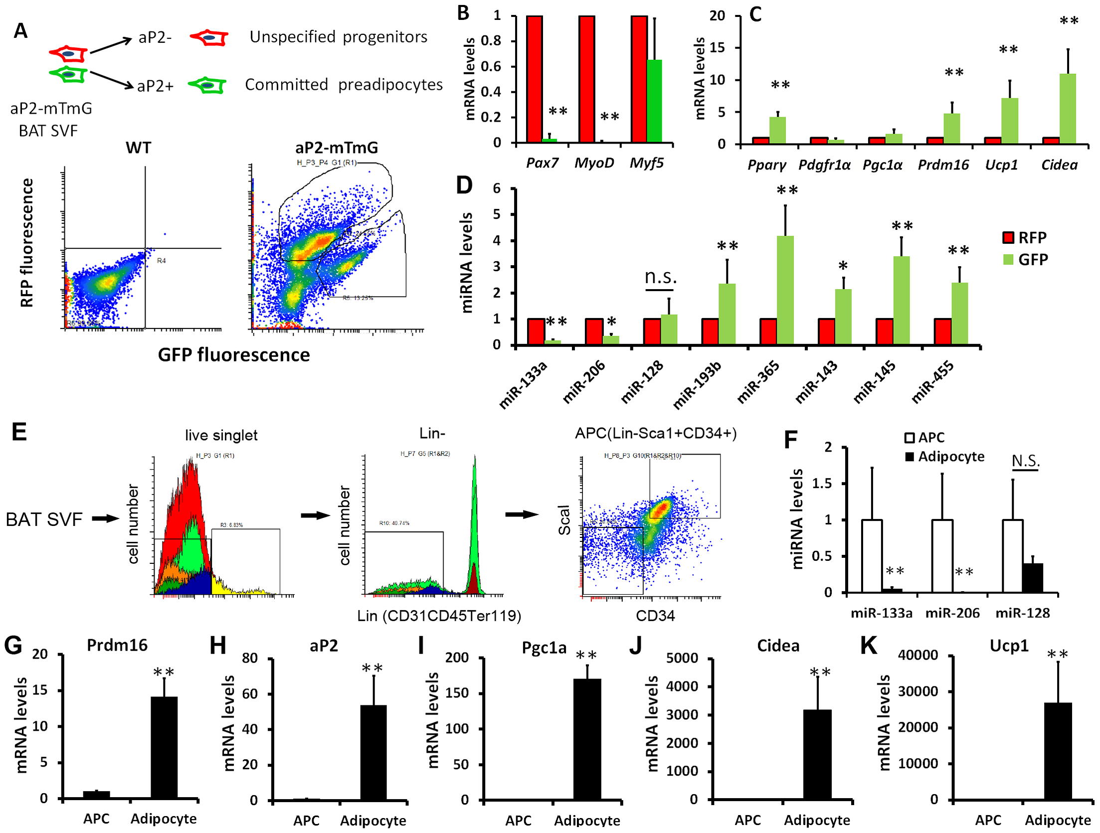 Downregulation of miR-133a with upregulation of <i>Prdm16</i> along brown adipocyte commitment and differentiation.