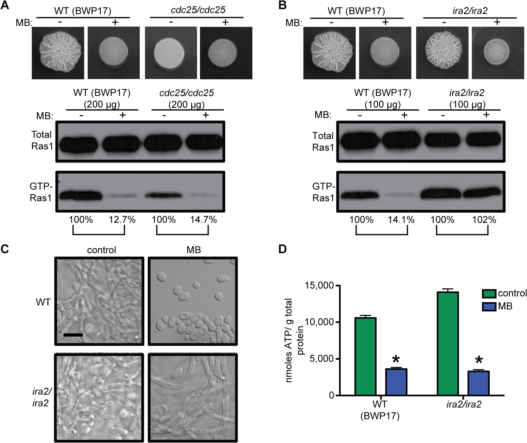 GTP-Ras1 decrease by MB is independent of the GEF Cdc25, but depends on the GAP Ira2.