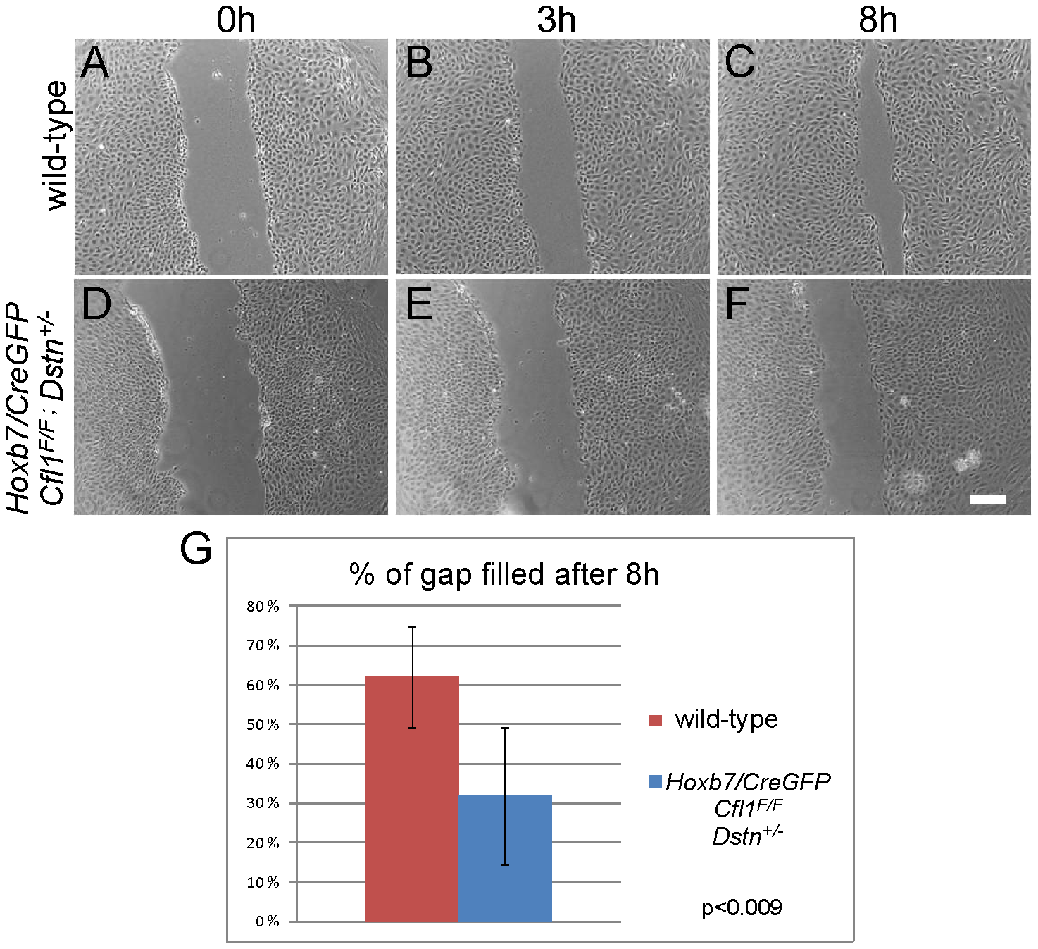 Primary UB epithelial cells lacking <i>Cfl1</i> but maintaining one wild-type <i>Dstn</i> allele (<i>Hoxb7/CreGFP; Cfl1<sup>F/F</sup>; Dstn+/−</i>) show a migration delay <i>in vitro</i>.