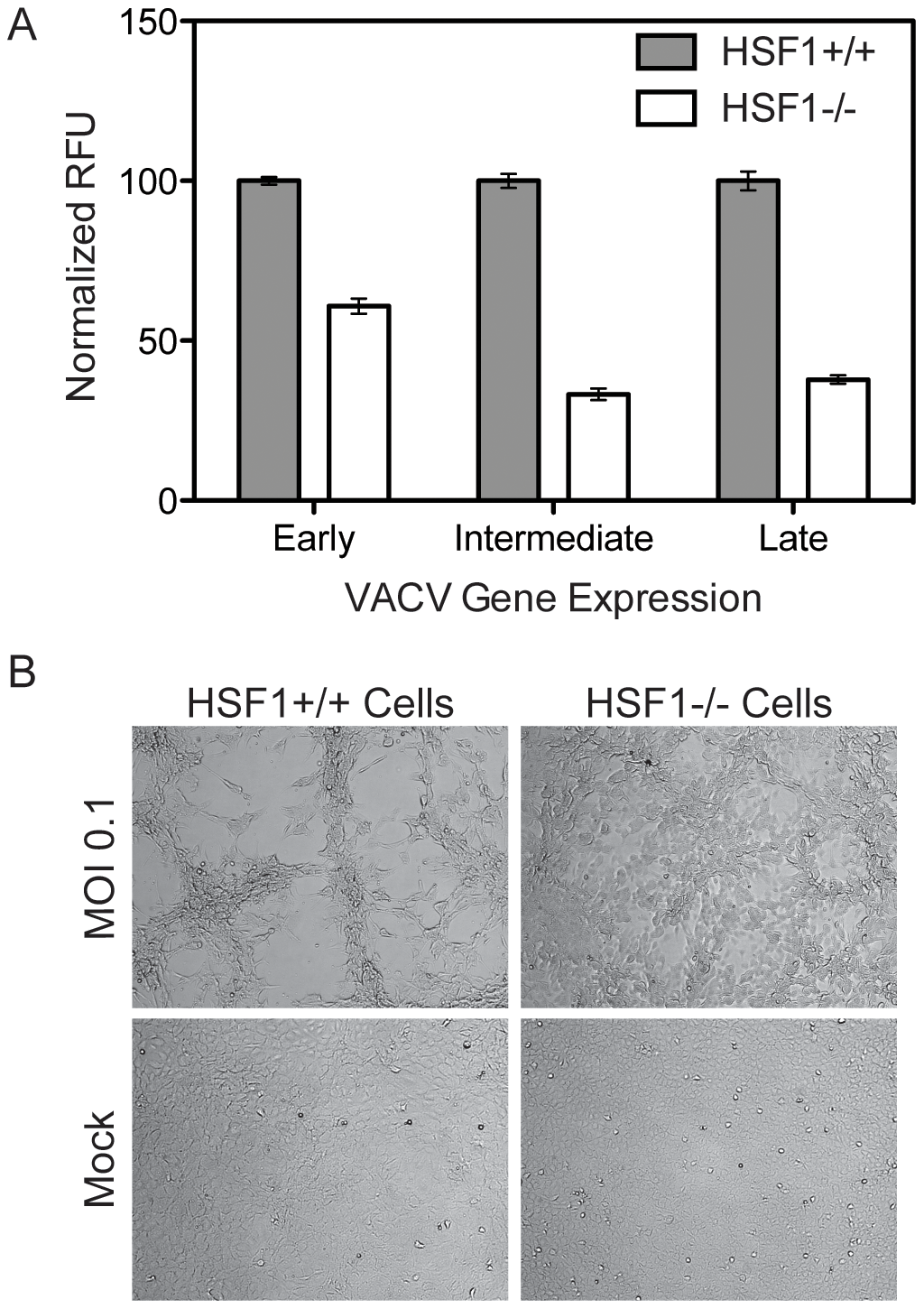 HSF1 null MEF cells support significantly less VACV infection.