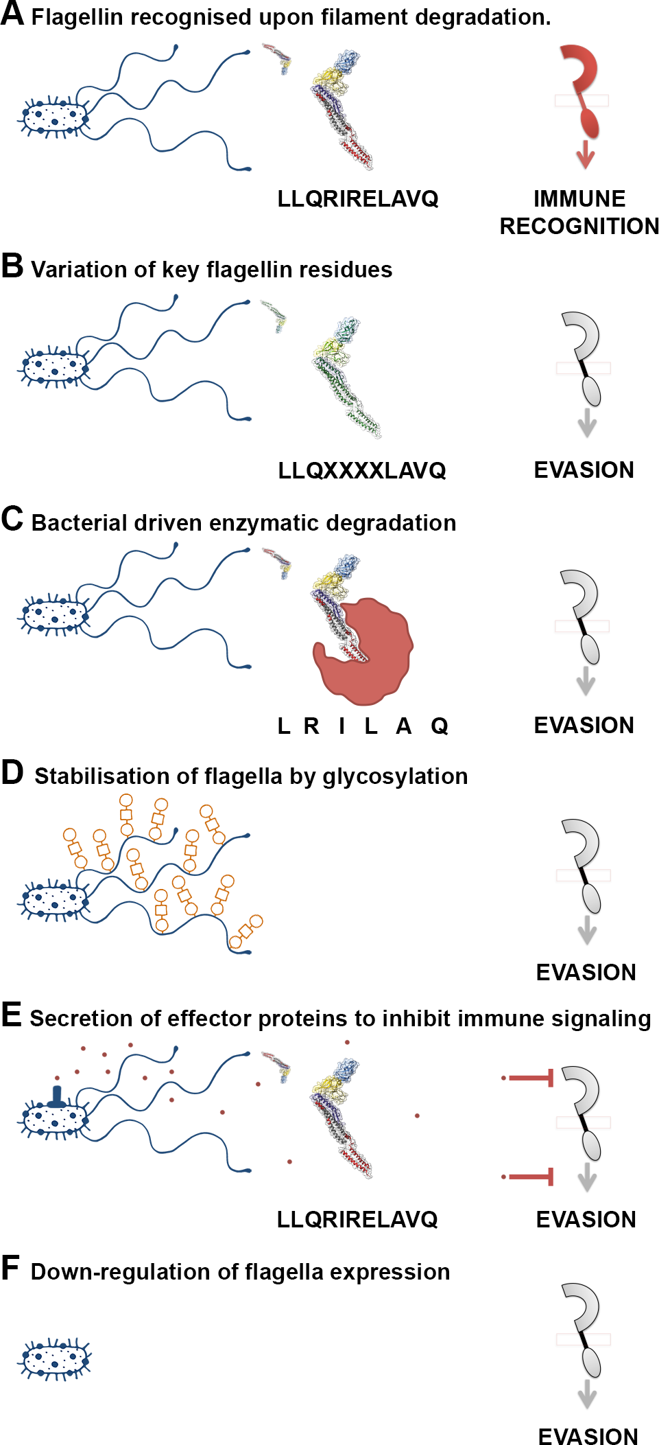 "A variety of mechanisms employed to ""dodge"" the flagellin innate immune response."