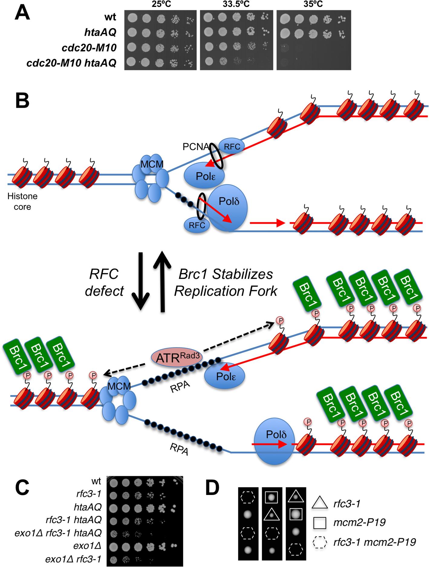 γH2A is critical in a DNA polymerase epsilon mutant.