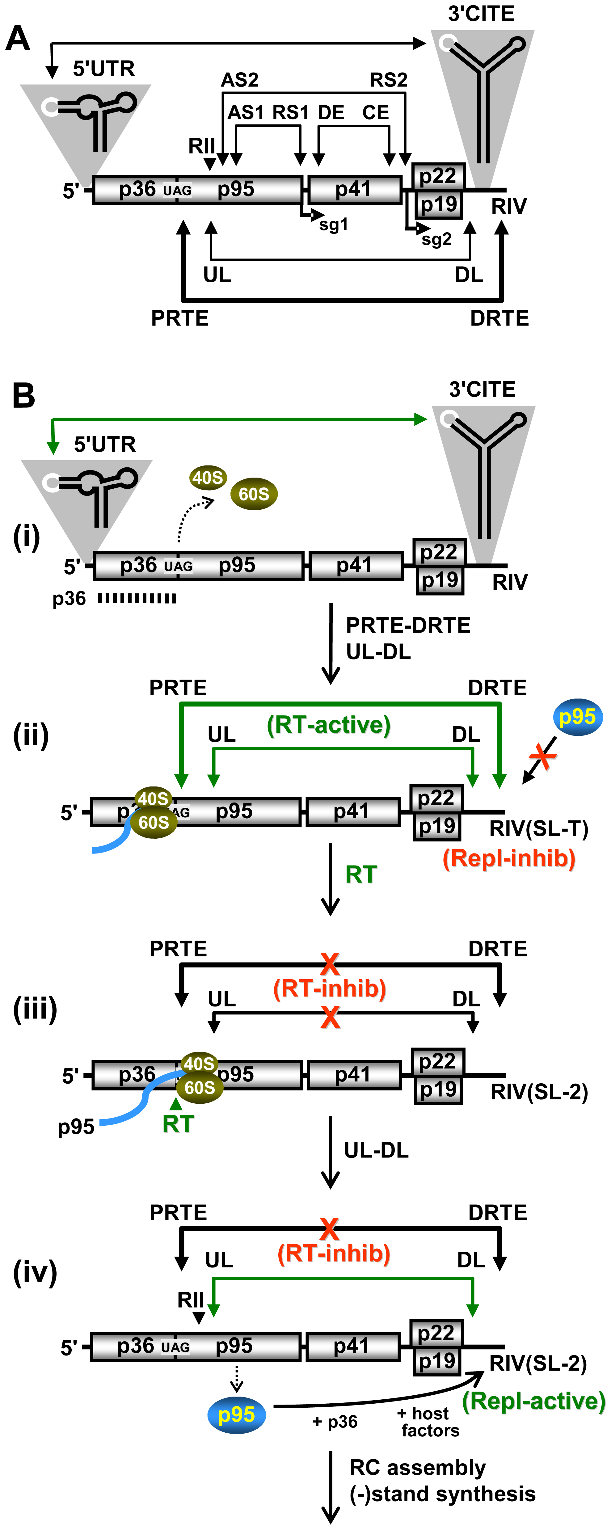 Proposed RNA-based regulatory network modulating RT and genome replication in CIRV.