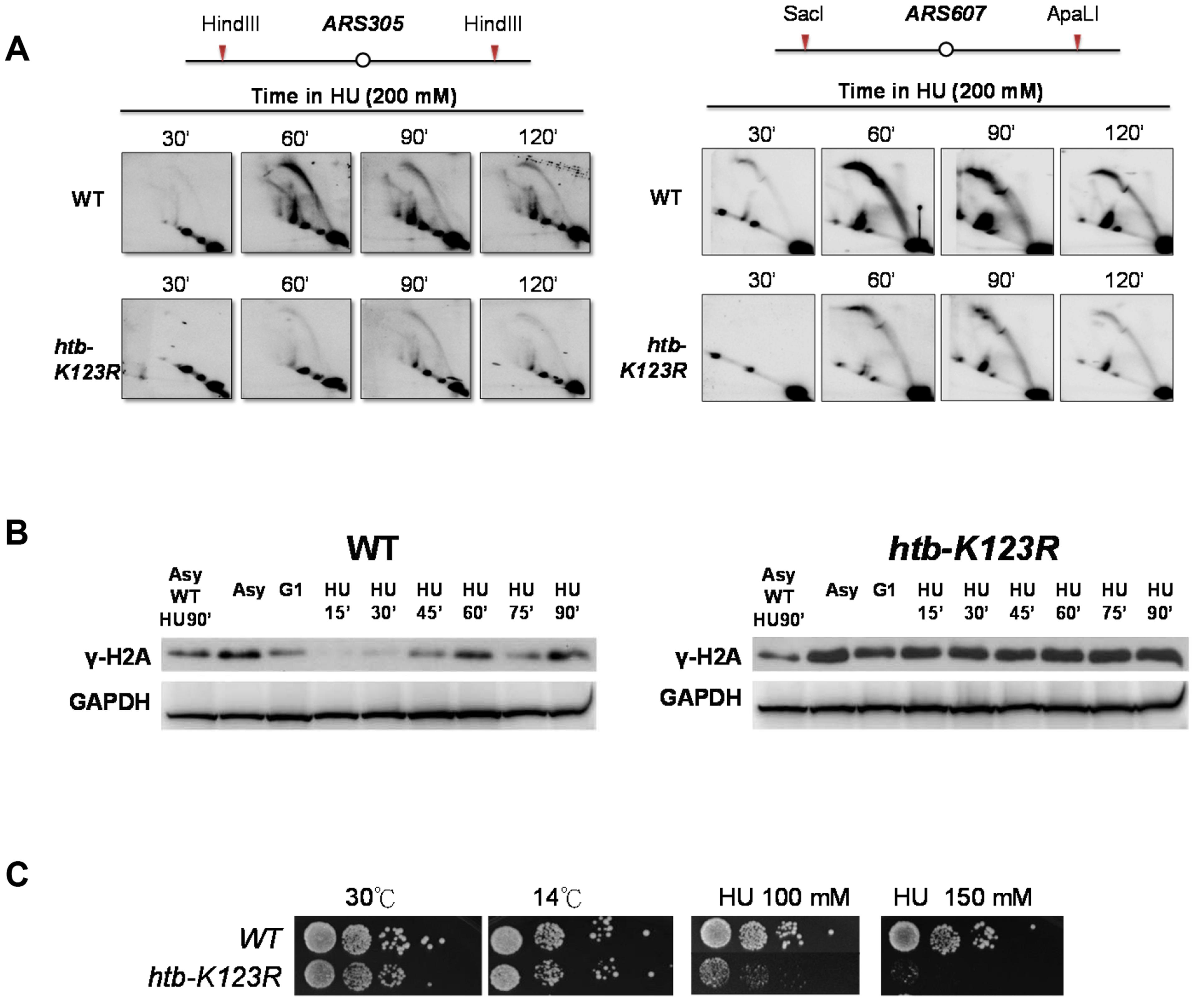 H2Bub preserves replication fork stability under HU stress.