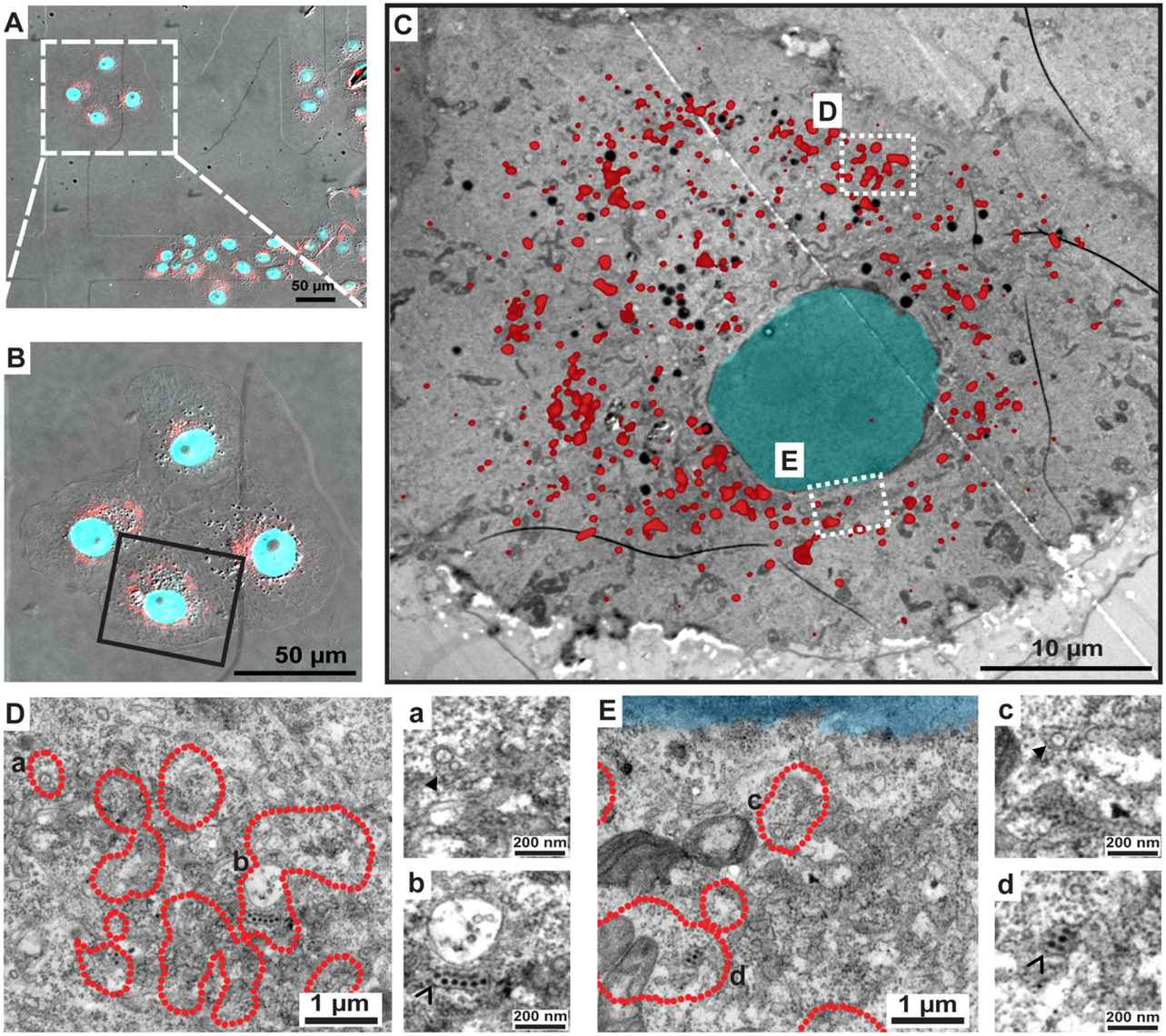 Correlative light-electron microscopy analysis identifies NS1 at sites of viral RNA replication and assembled virus particles.