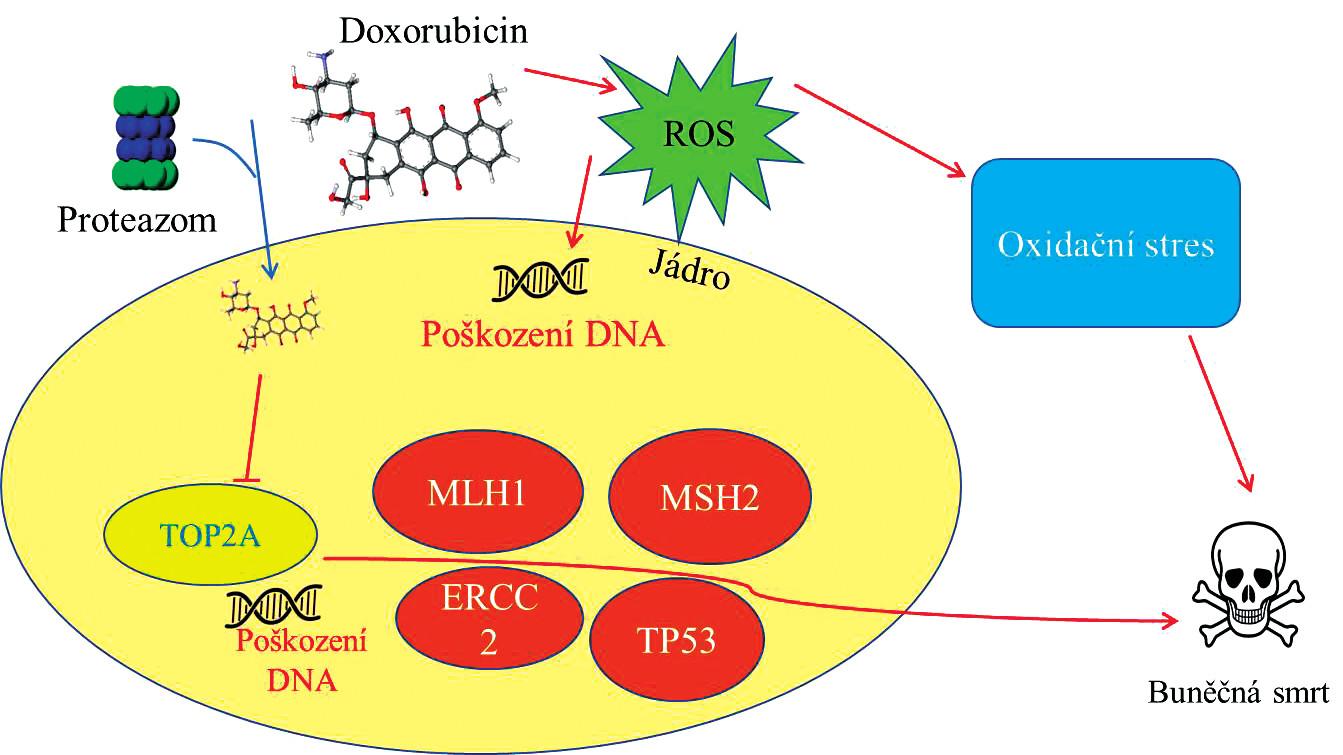 Schéma působení doxorubicinu (DOXO) uvnitř nádorové buňky. DOXO v jádru buňky blokuje topoizomerázu (TOP2A) a způsobuje tak poškození DNA a vede k aktivaci řady genů <i>(MLH1, MSH2, ERCC2, TP53)</i> směřující buňku k buněčné smrti. Kyslíkové radikály (ROS, generované DOXO) působí poškození DNA v jádře a zároveň vede buňku k oxidačnímu stresu a následně spouští procesy apotózy.