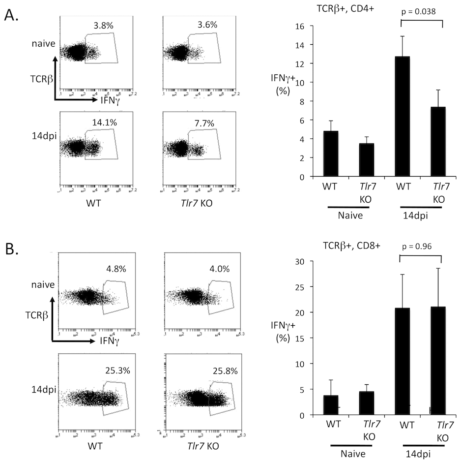 TLR7 is required for IFNγ expression in CD4 T cells.